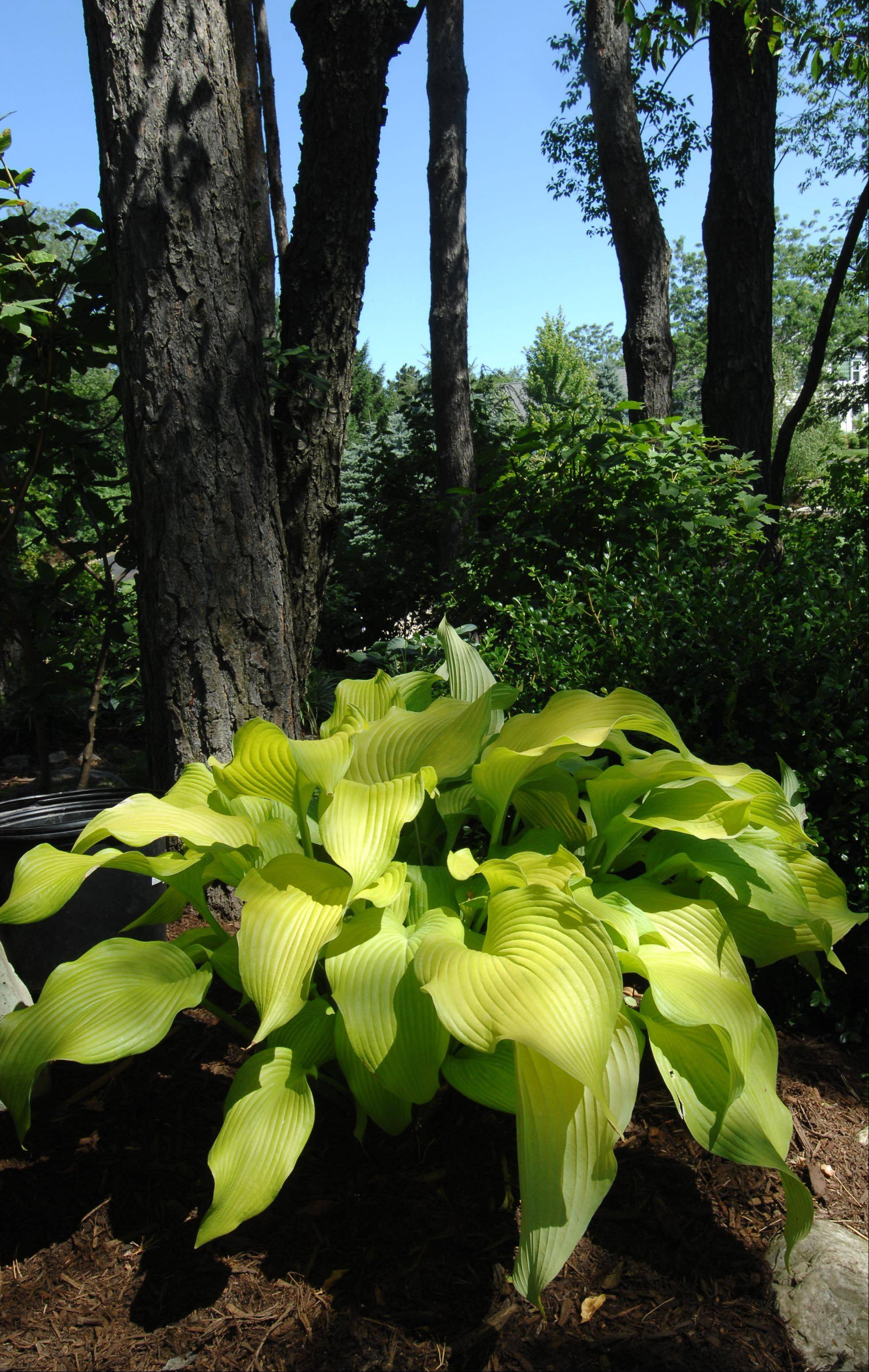 Hostas brighten the gardens of Tranquility Trails.