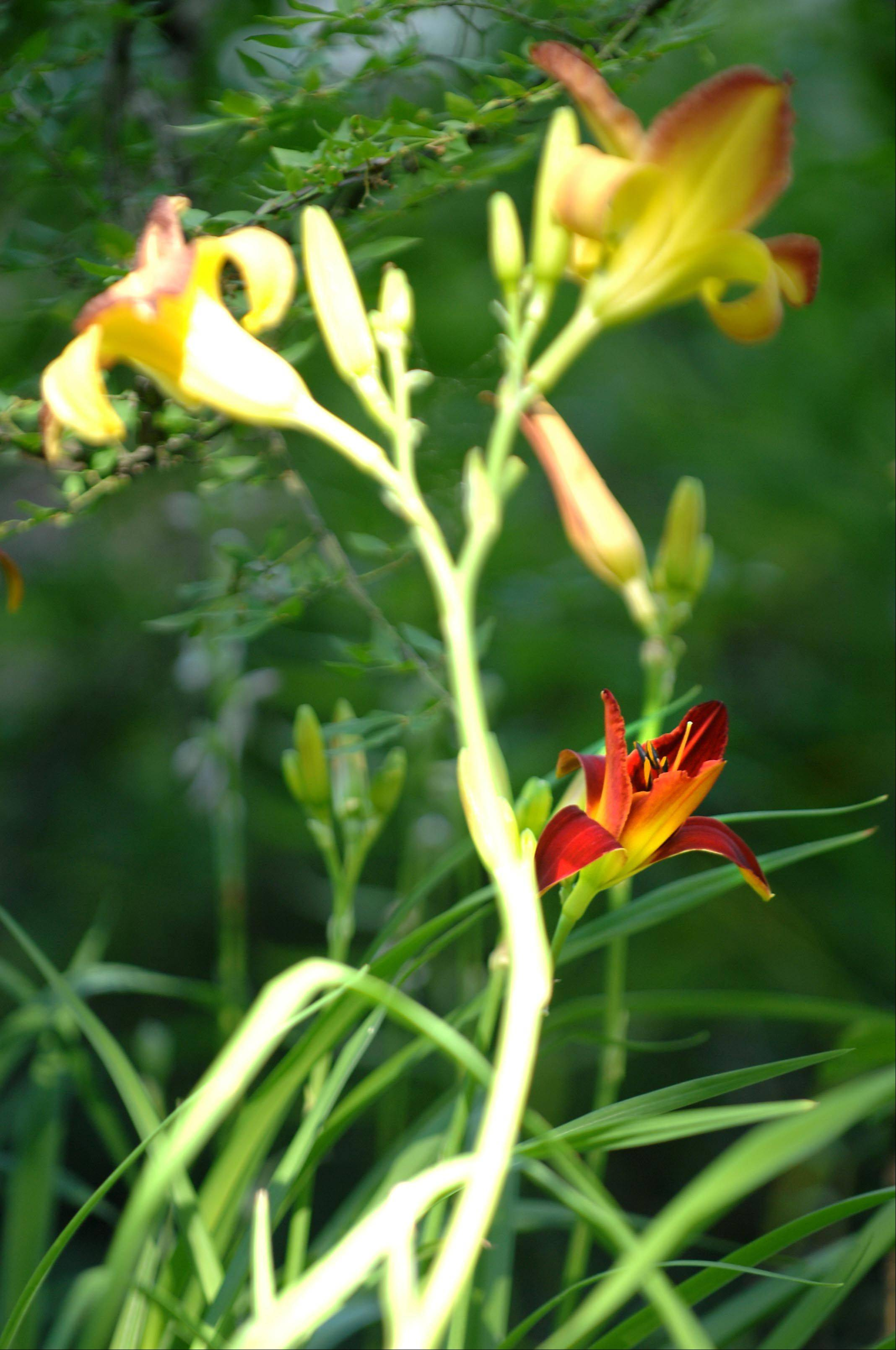And what's a garden without day lilies? This is Sammy Russell Red at Private Pompousness, Poetry and Playfulness.