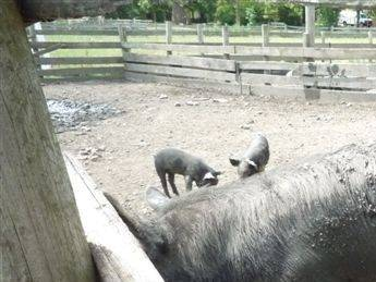 This piglet instinctively finds a shady dining spot, even if the shade is provided by a very muddy Berkshire sow. The pigs at the Schaumburg Park District's Volkening Heritage Farm spent a lot of time this past week wallowing in mud pits and lying in the shade.