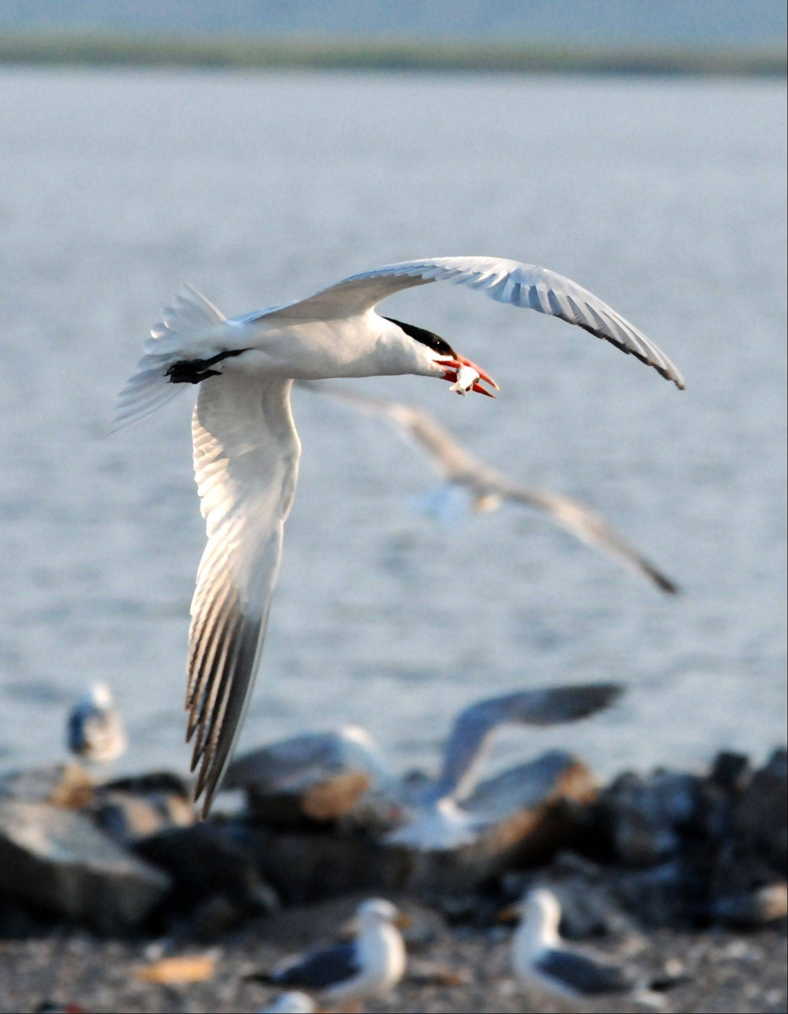 A Caspian tern flies over Crump Lake Island near Adel, Ore., on July 22, 2008.