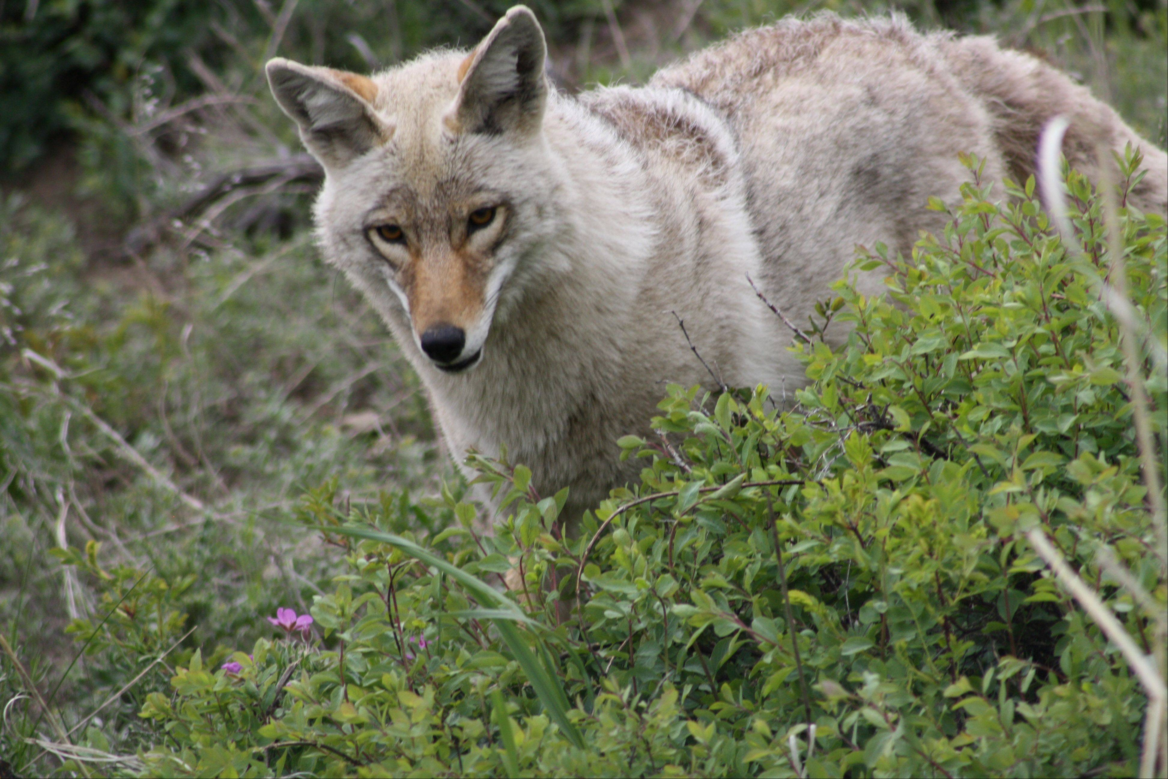 Coyotes have a natural fear of people but they have adapted well and it is not unusual to see them in our midst, be it near busy urban gathering spots or near woodsy open areas.