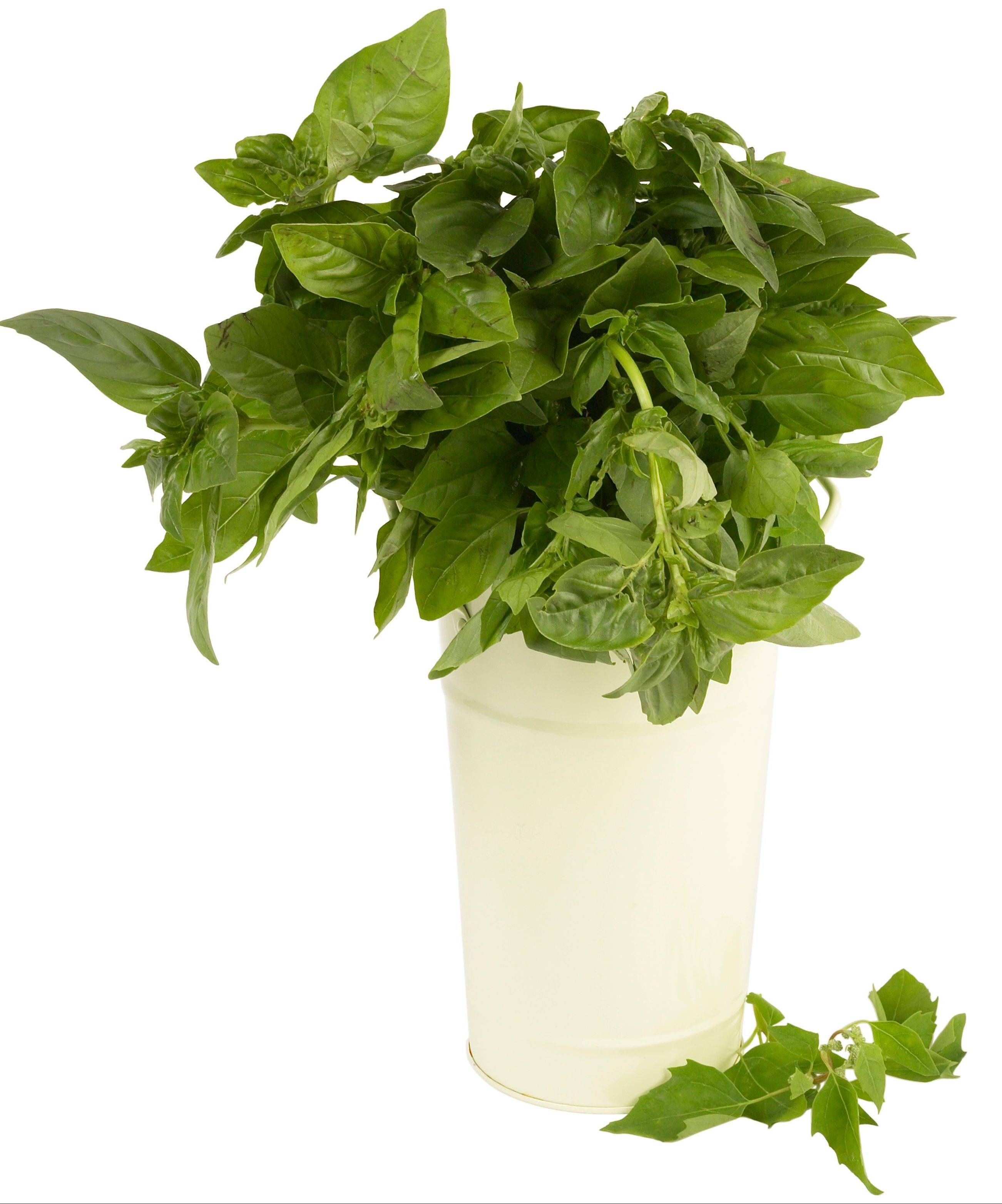 Fresh basil can be made into pesto, which is the ultimate summer condiment and can served with everything from pizza to sauces and soups. It also freezes well.