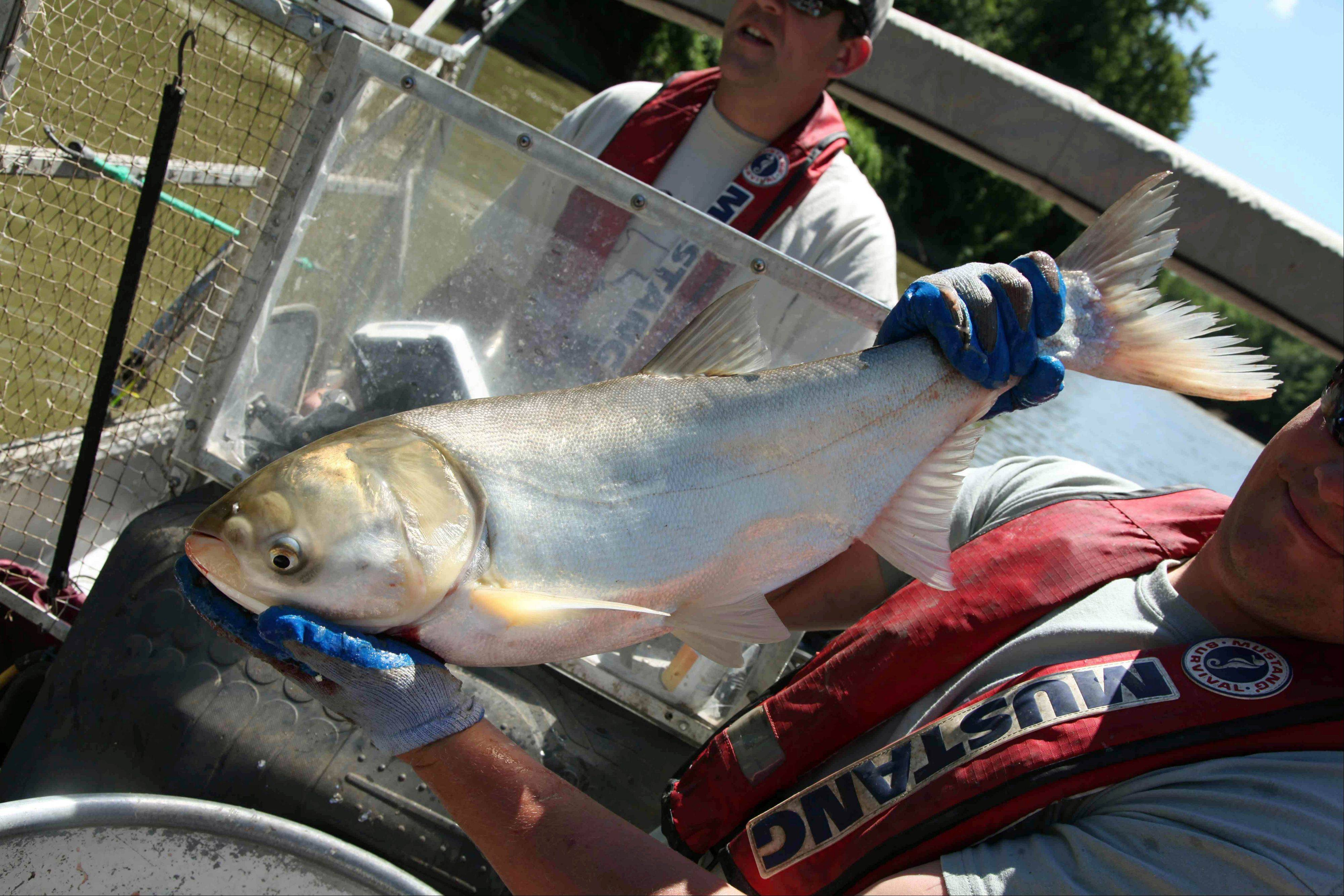 Travis Schepker, a biology intern, holding an Asian carp pulled from the Illinois River near Havana, Ill.