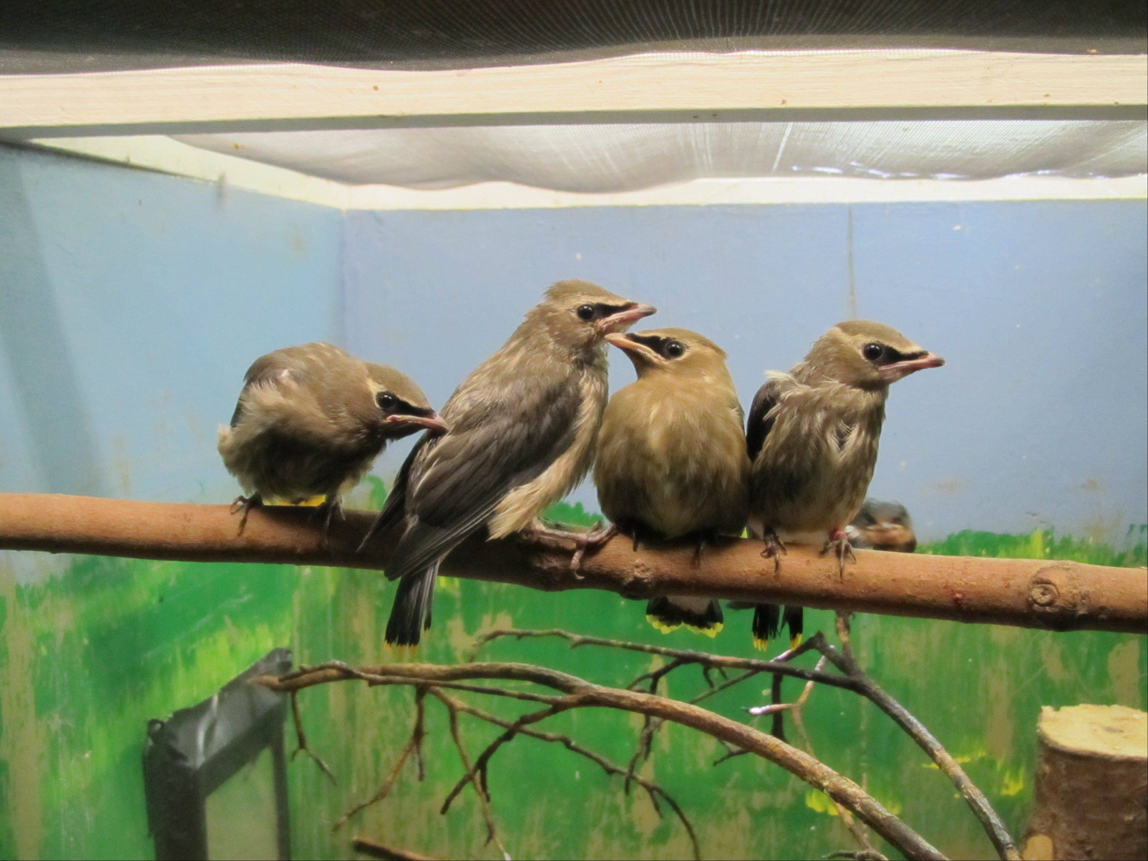 The fledgling cedar waxwings are among 160 animals, mostly birds, brought to Willowbrook Wildlife Center in Glen Ellyn after a July 1 storm left them injured or orphaned.