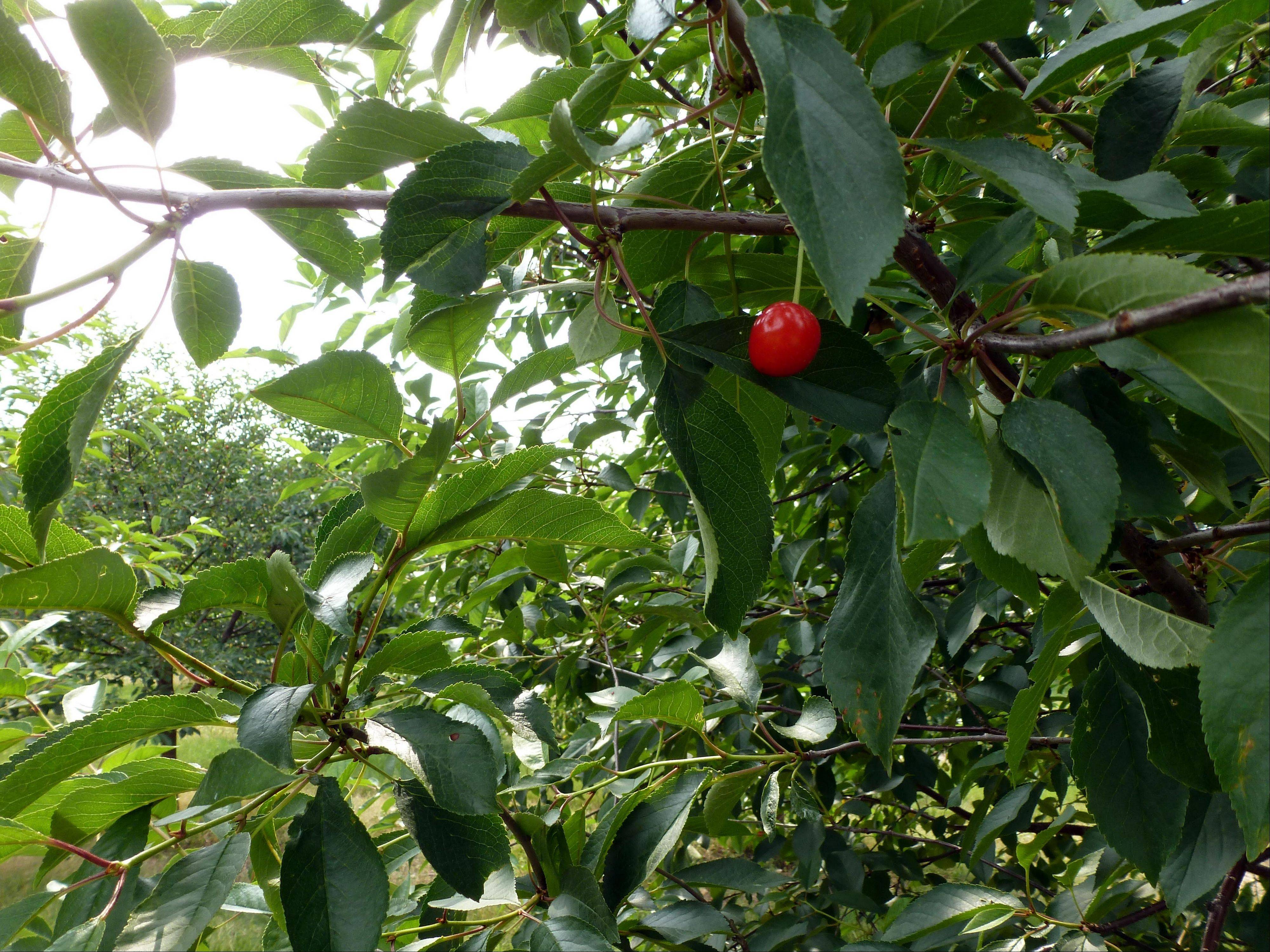 In this June 28, 2012, a cherry hangs on a tree on with very few other cherries in the orchards of Seaquist Orchards in Sister Bay, Wis. The company only expects to get about 10 percent of a full crop this year after frost got the buds that developed early from a warm winter and spring.