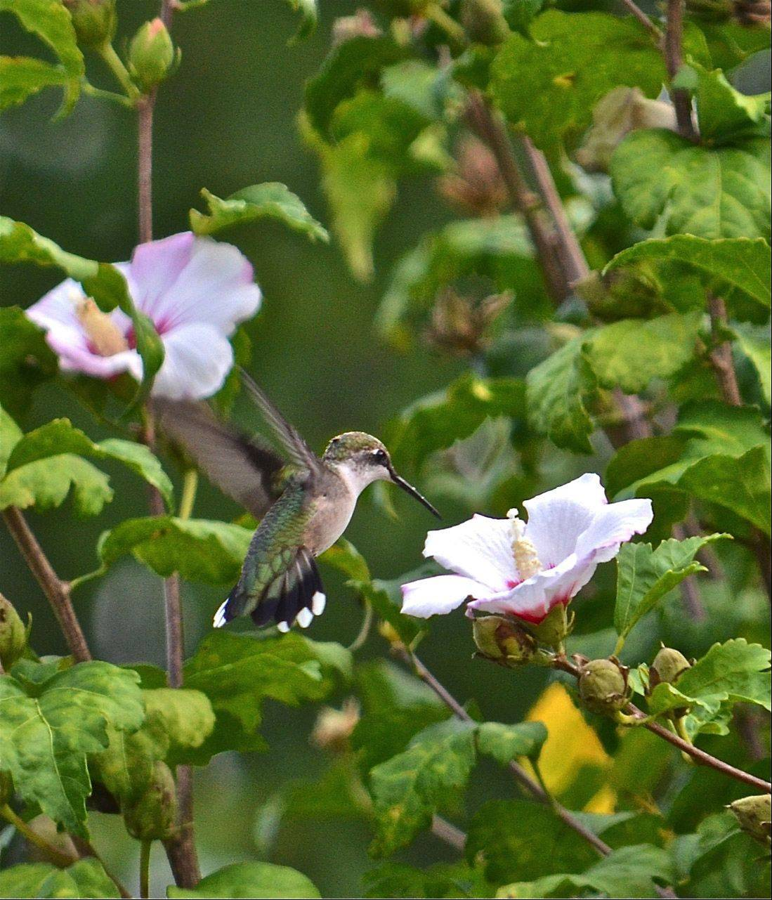 A hummingbird moves from flower to flower on an September morning last year in Cincinnati, Ohio.