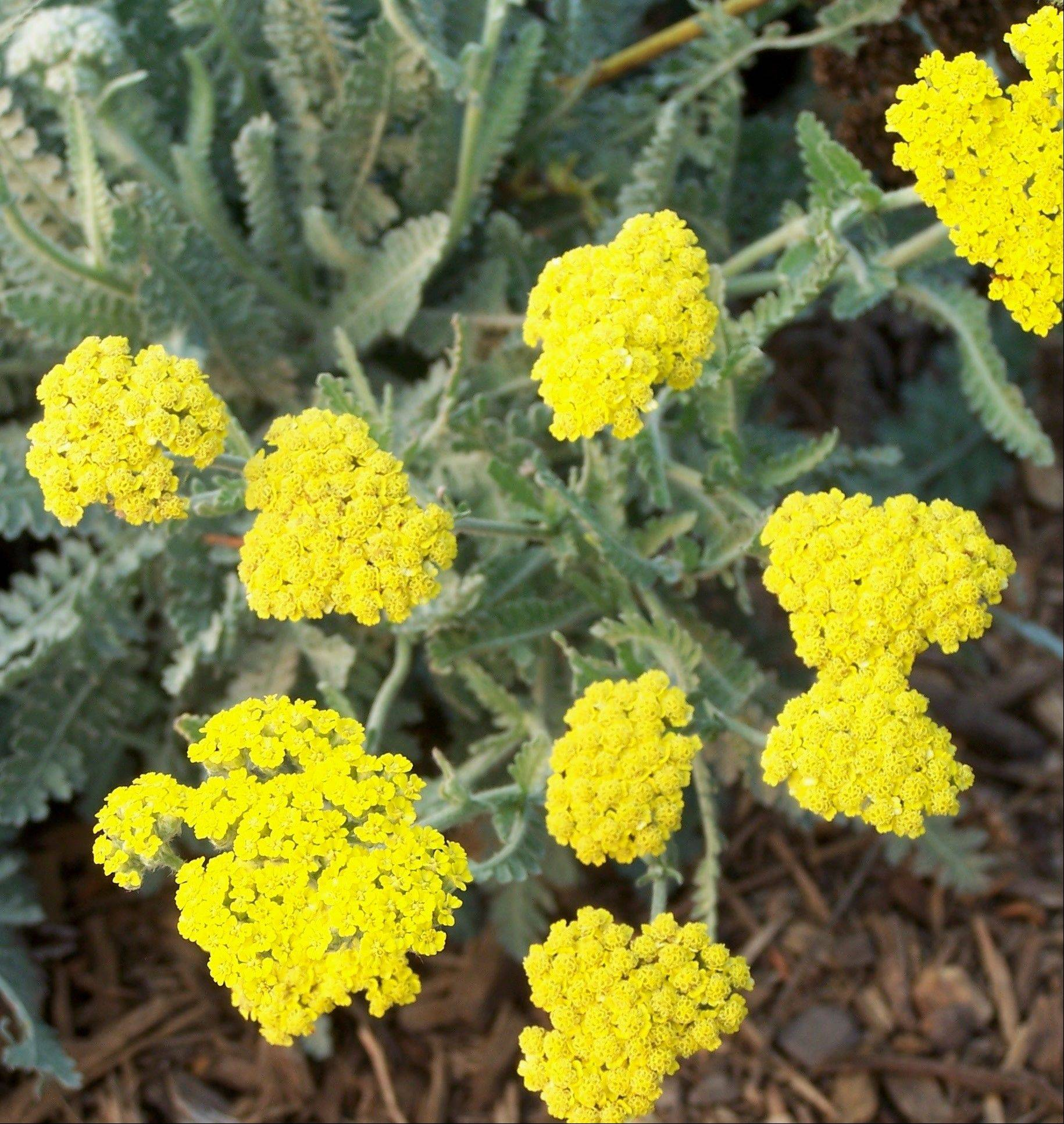Moonshine yarrow will flower throughout the summer if spent flowers are deadheaded.