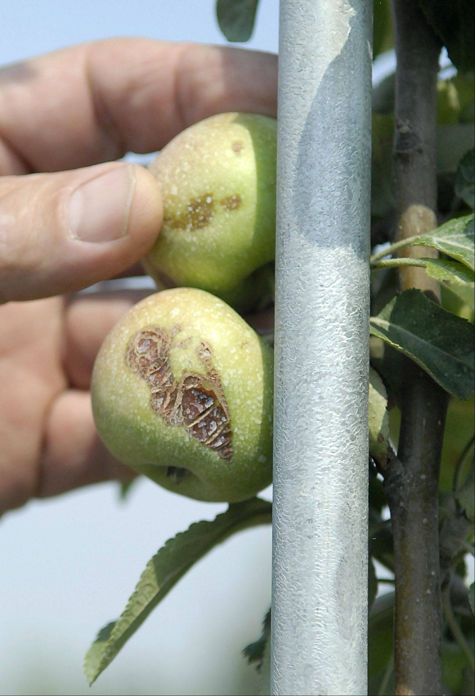 Damaged skin shows how frost affected these Jonathan apples at Kuipers Family Farm in Maple Park.