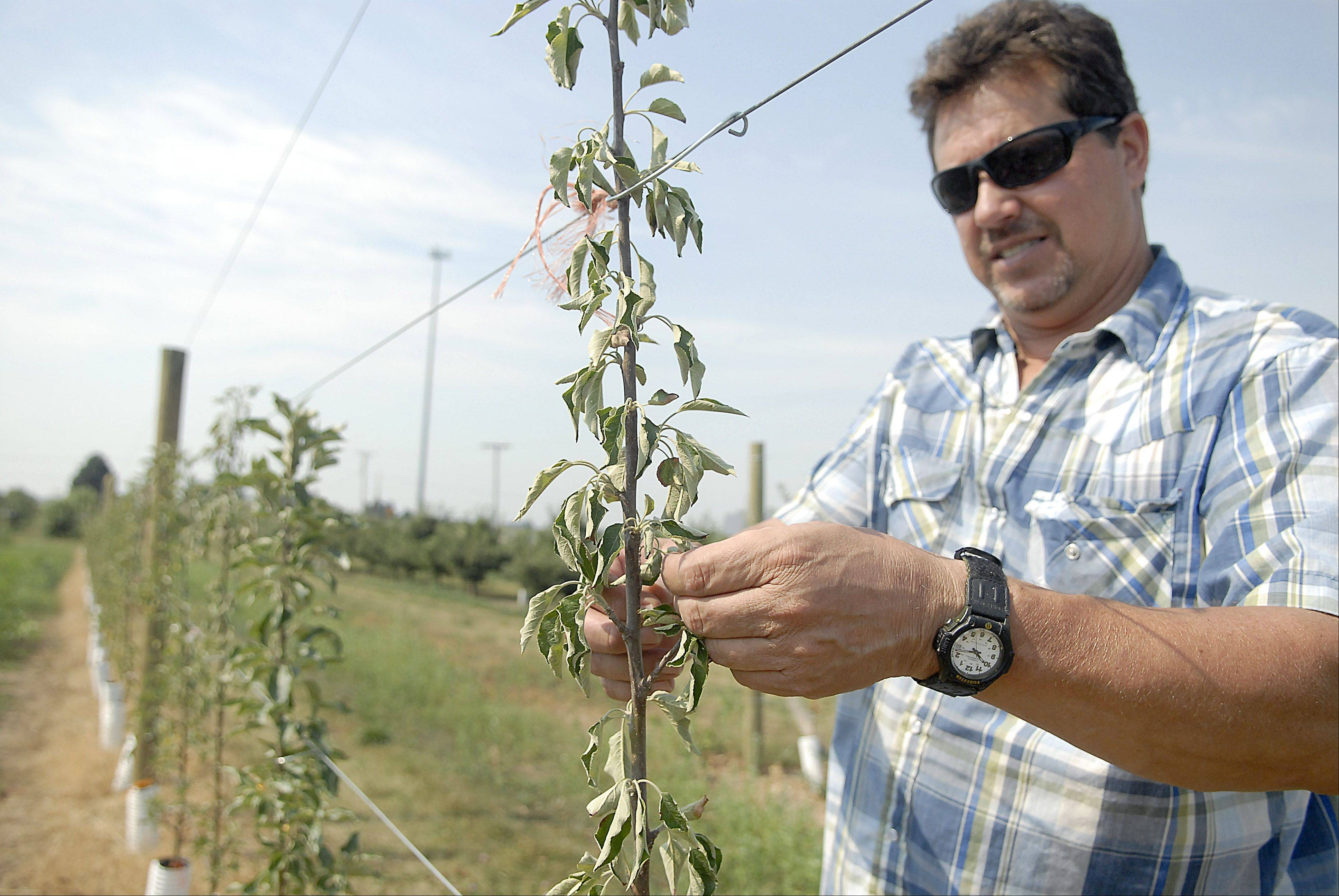 Wade Kuiper of Kuipers Family Farm checks on apple trees in his orchard in Maple Park.