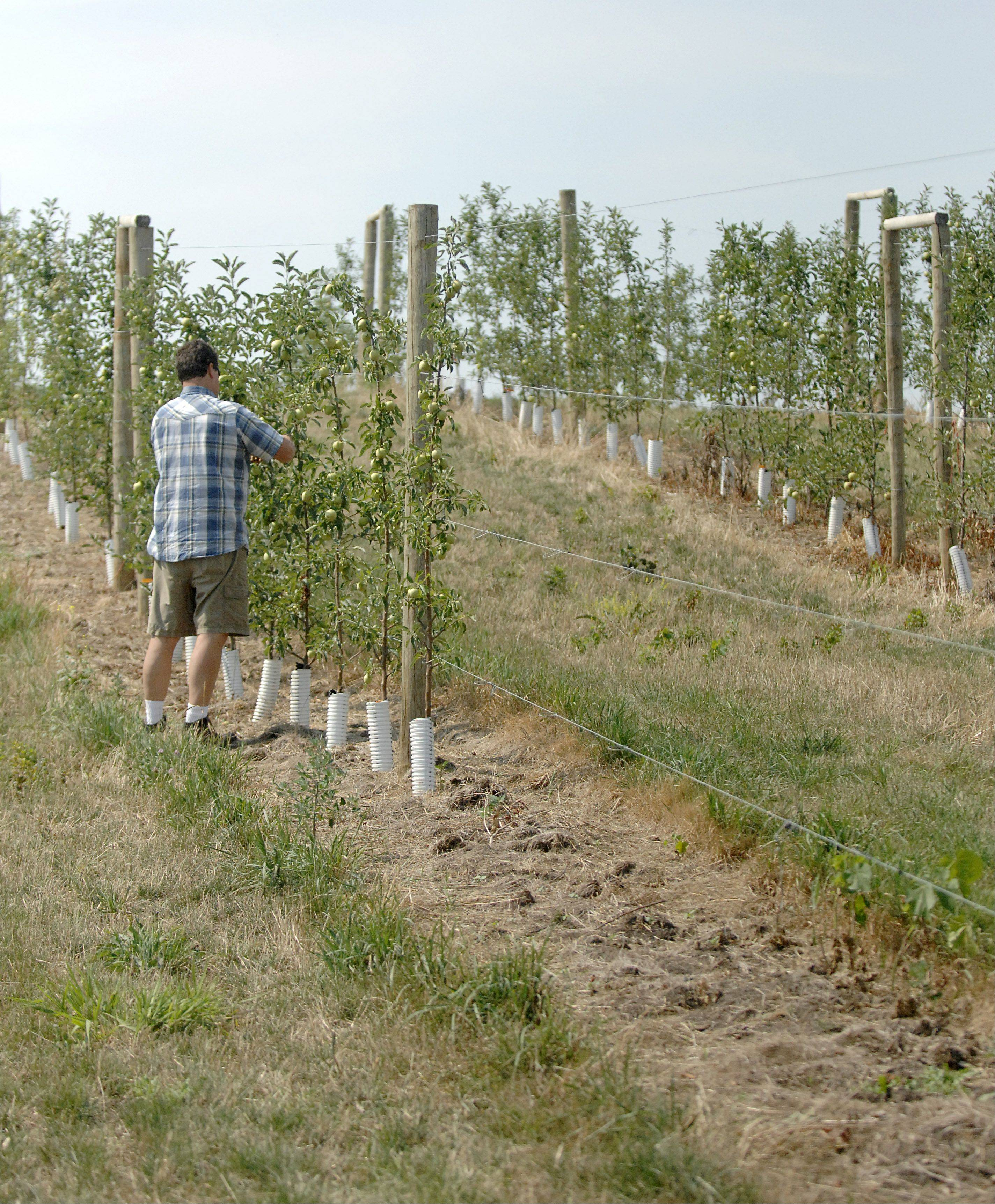 Wade Kuiper of Kuipers Family Farm checks on Gibson Golden apple trees in his orchard in Maple Park. The empty space on right was filled with apple trees planted this spring that didn't make it. They will be replanted.