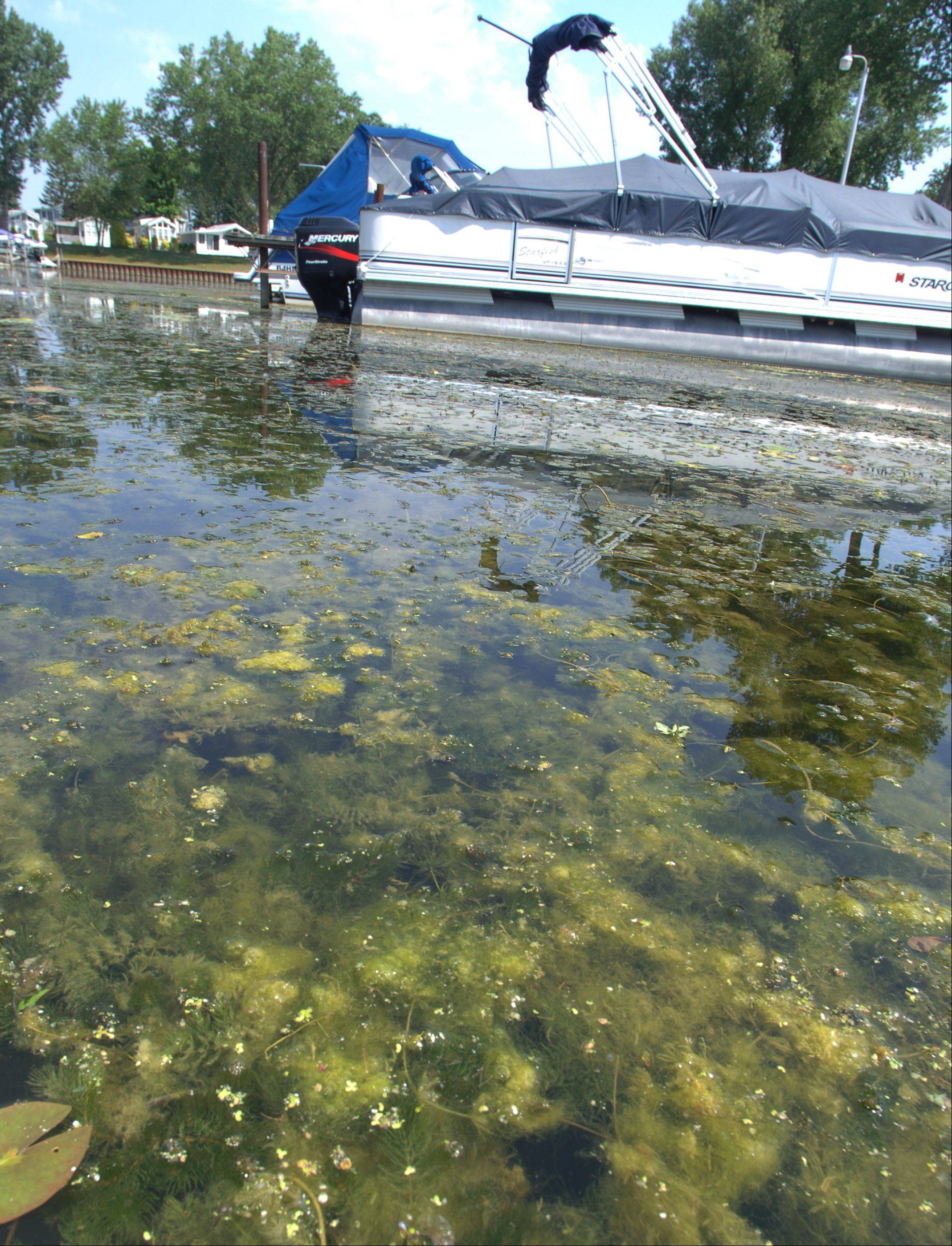"An increase of algae growth is being seen on the Chain O' Lakes near Antioch. The warm water is an ""incubator for many things,"" said Michael Adams, senior biologist at the Lake County Health Department, and algae adds to oxygen depletion."