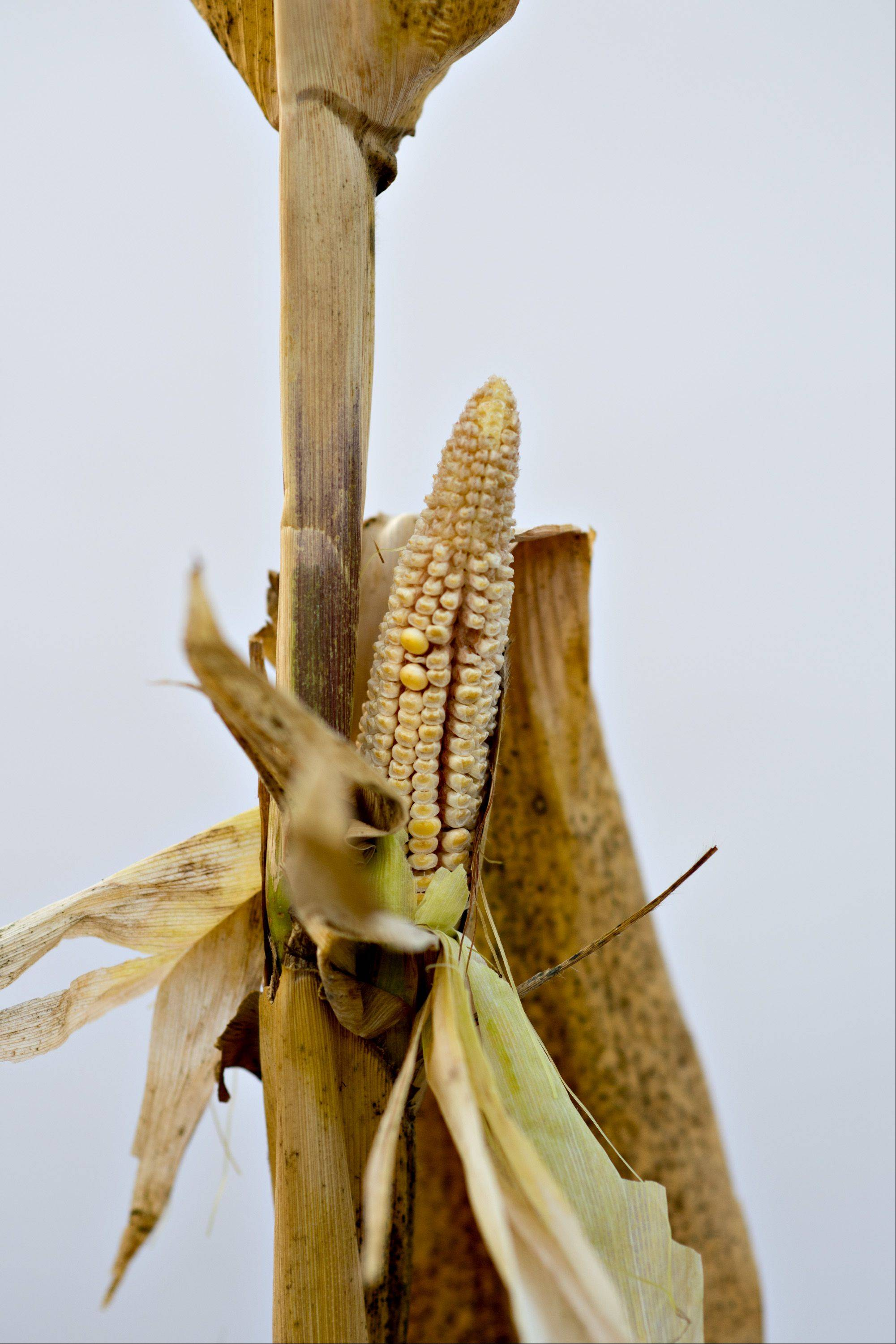 A severely underdeveloped ear of corn hangs on a corn plant damaged by extreme heat in downstate Carmi.