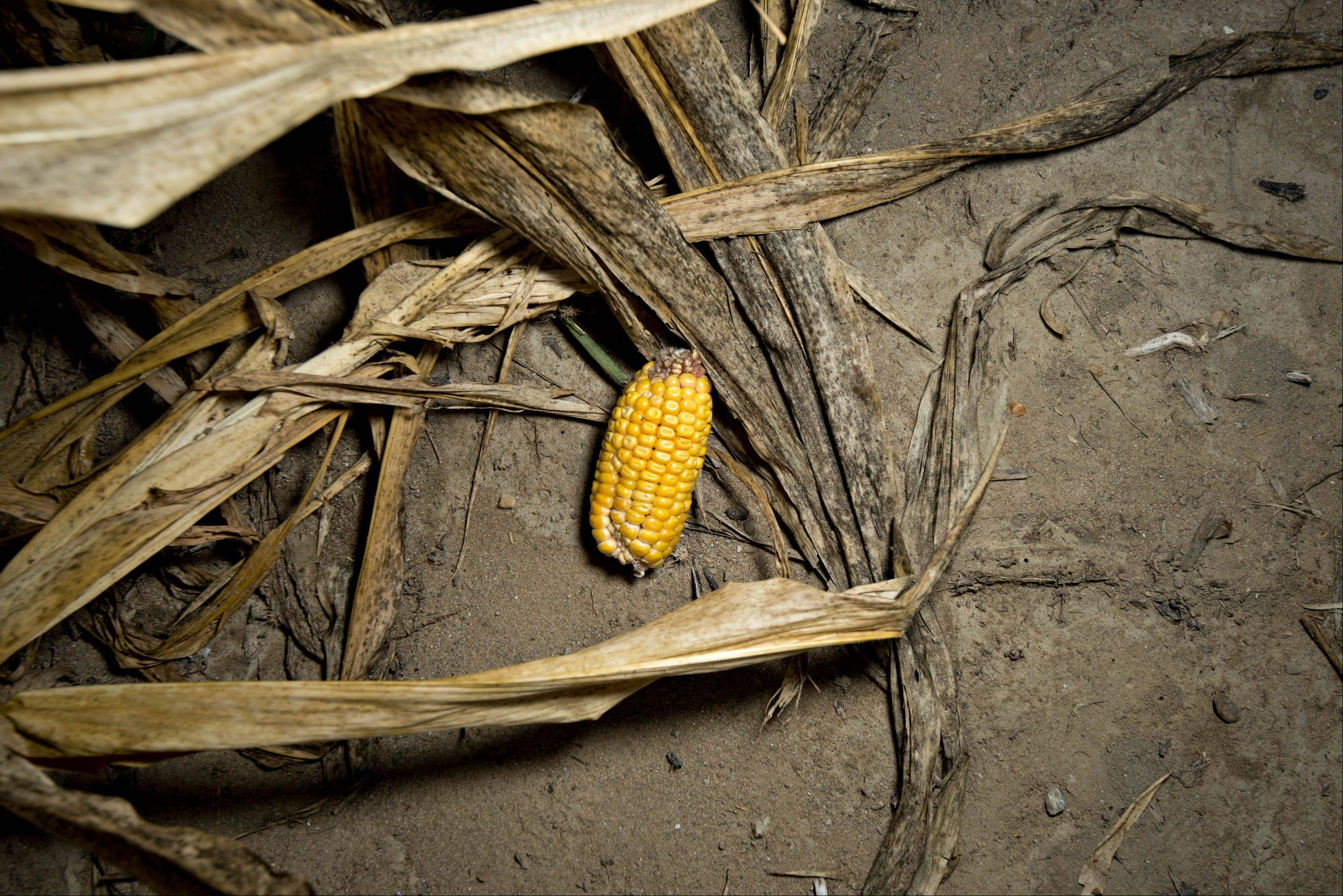 An underdeveloped ear of corn lies among corn plants damaged by extreme heat and drought conditions in a field Wednesday in Carmi.