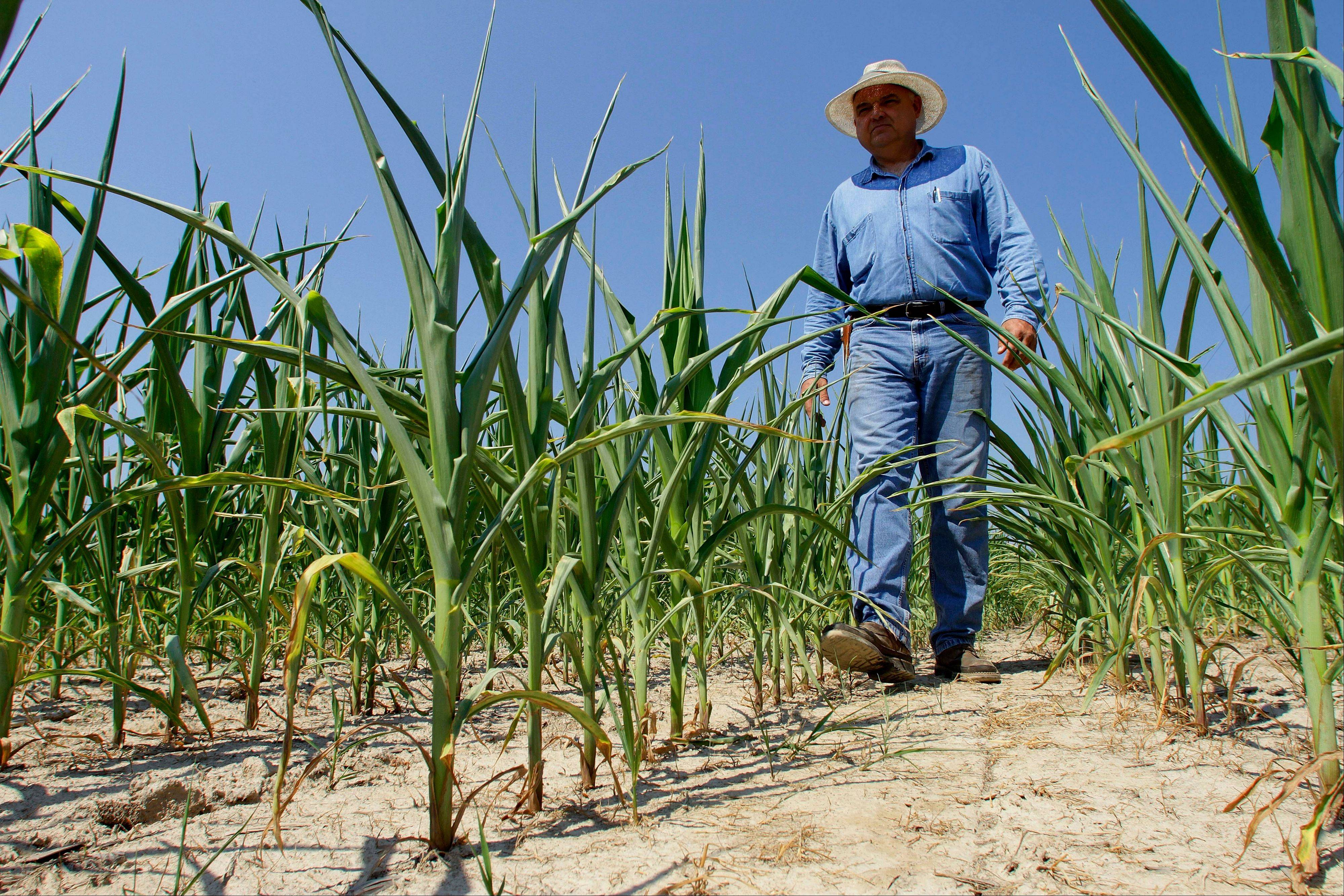Central Illinois farmer Jimmy Ayers walks through his stunted field of corn Friday in Rochester, southeast of Springfield.