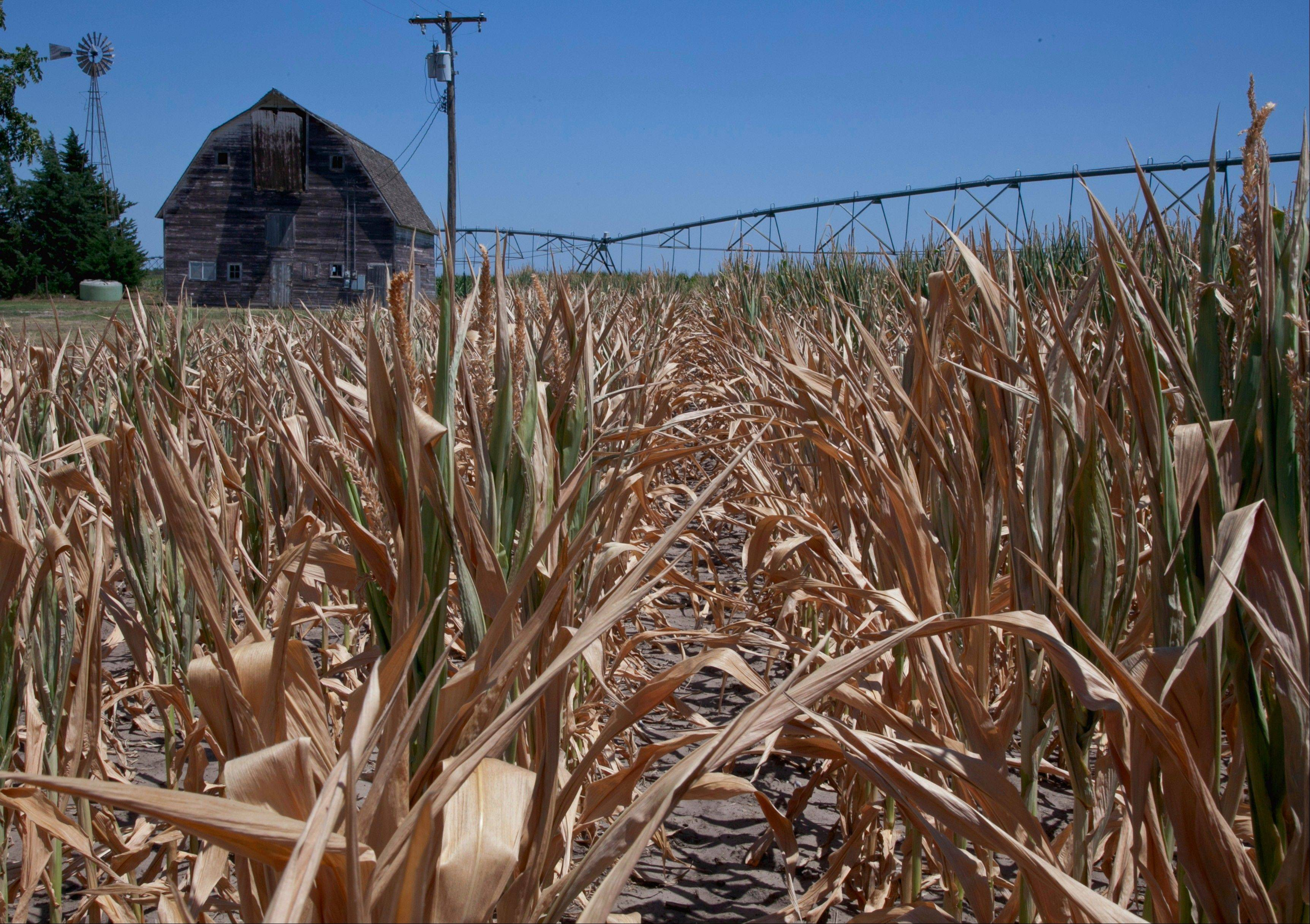 A dry field of corn is seen near Fremont, Neb., Monday. The drought gripping the United States is the widest since 1956, according to new data released by the National Oceanic and Atmospheric Administration.