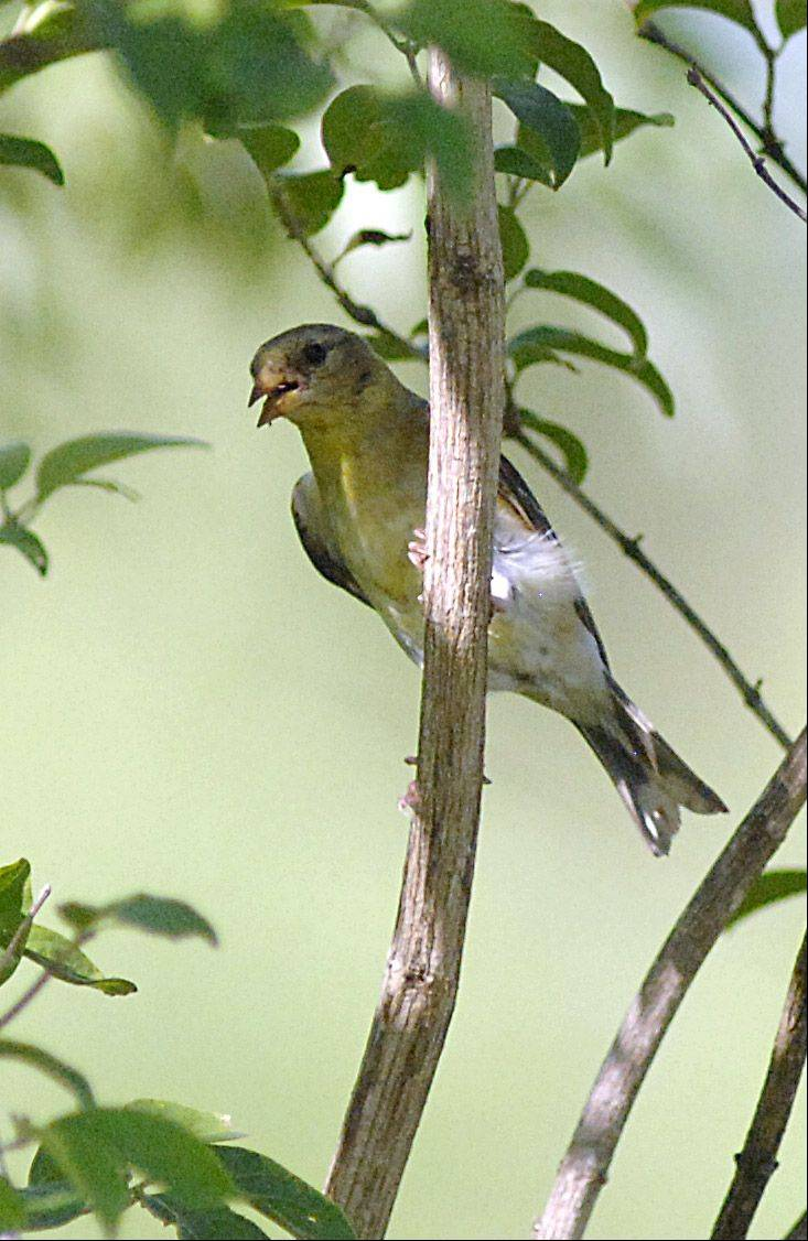 An immature dickcissel perches in a tree, panting due to the extreme heat, at Dick Young Forest Preserve in Batavia on Saturday, July 7. Members of the Kane County Audubon Society, a local chapter of the Illinois Audubon Society, met for their monthly bird walk at the preserve.