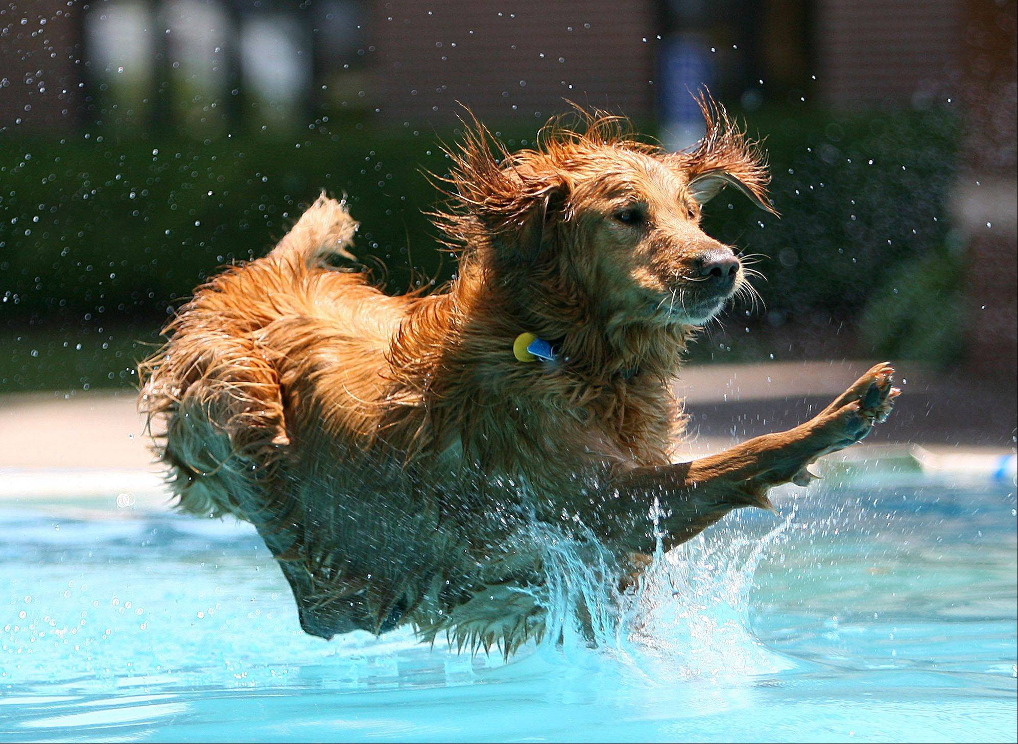 Cody, a golden retriever owned by Doug Cayce of Libertyville practices his jumping during Dog Days in downtown Libertyville Friday.