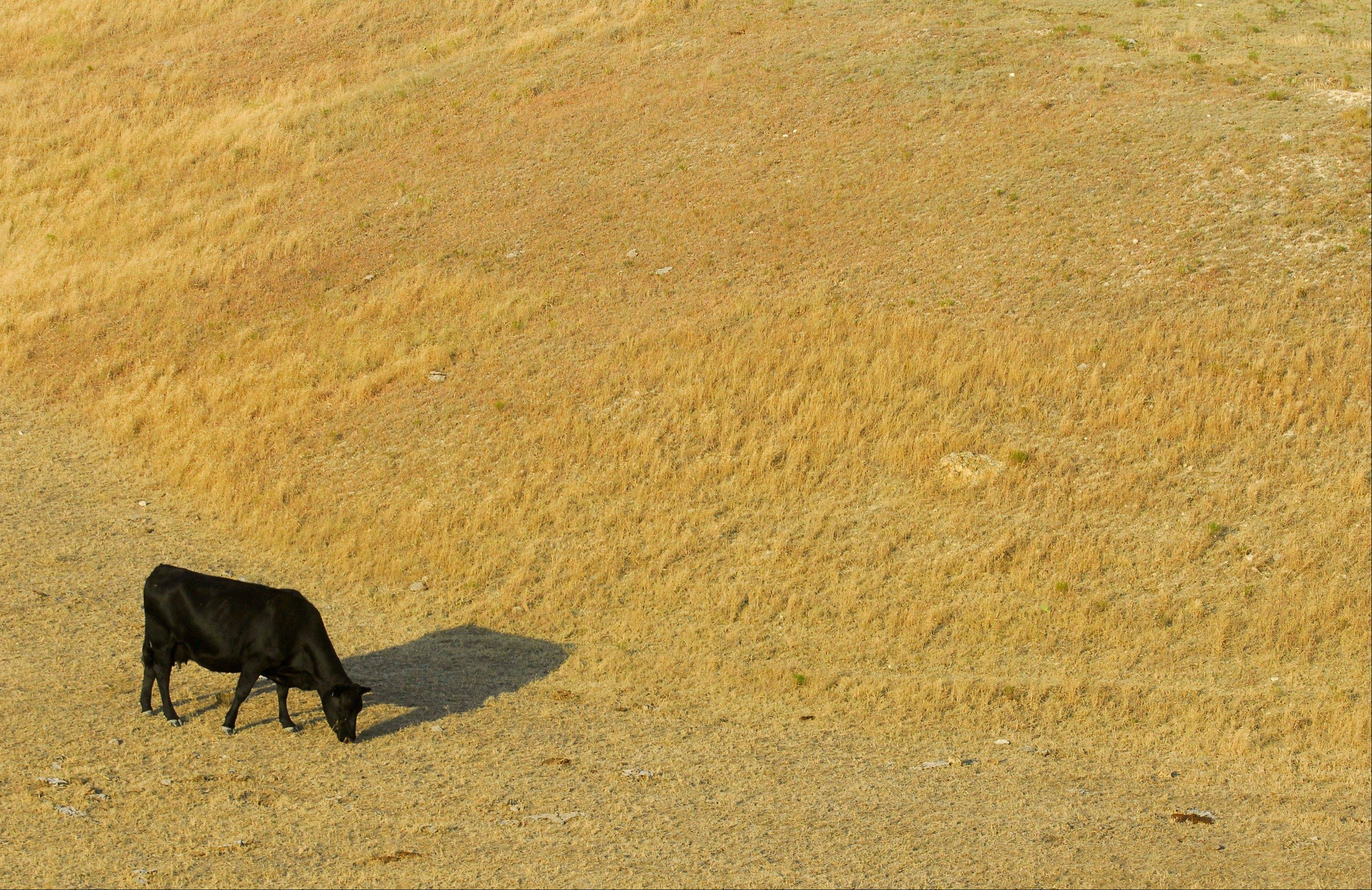 A cow looks for something to eat as it grazes in a dry pasture southwest of Hays, Kan., in a July 6, 2012 photo.
