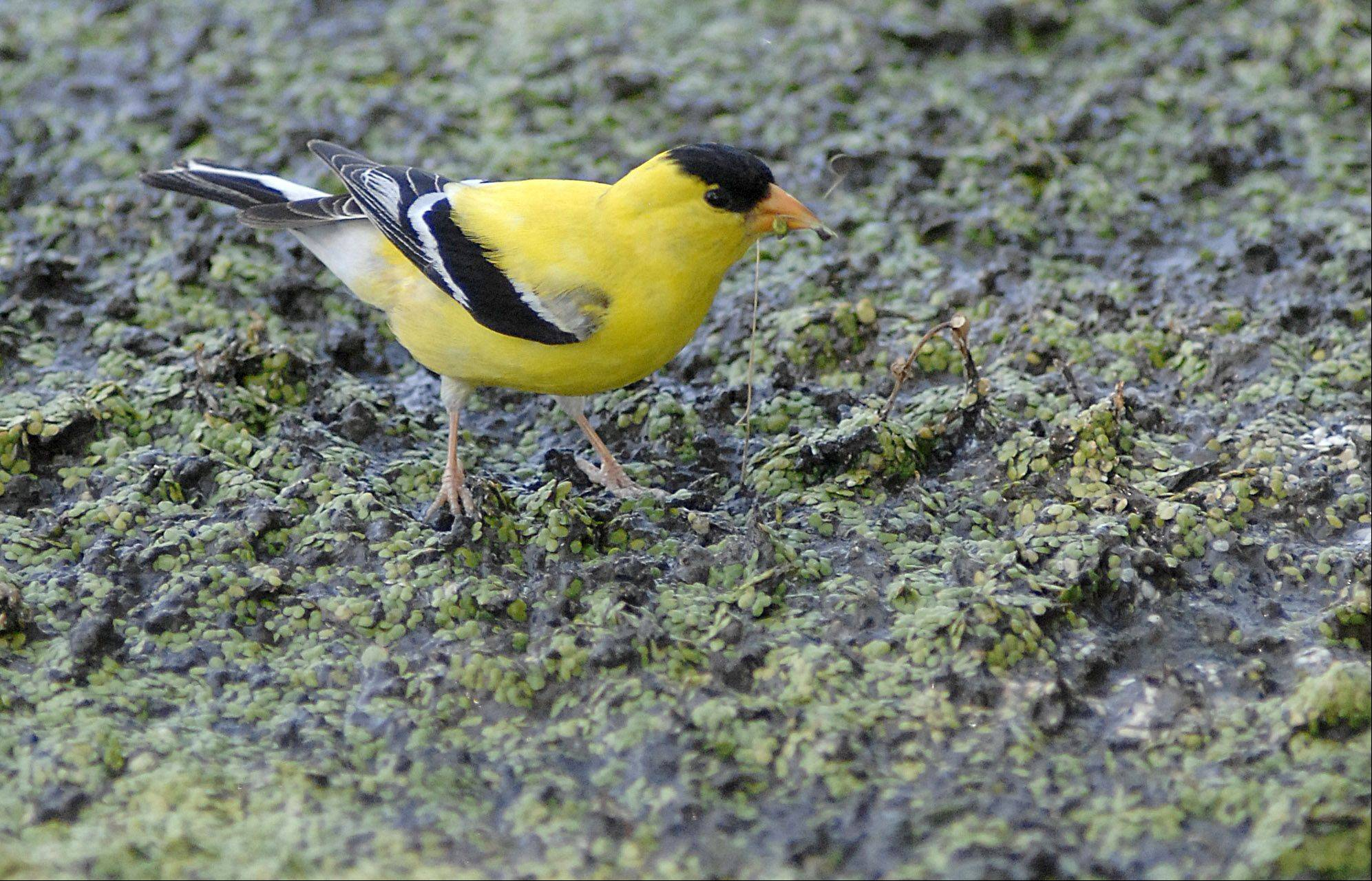 An American Goldfinch pokes around duckweed near Boy Scout Island in St. Charles. The bird's most common natural habitat is weedy fields and floodplains, but with the drought, creatures of all kinds are seeking water wherever they can find it.