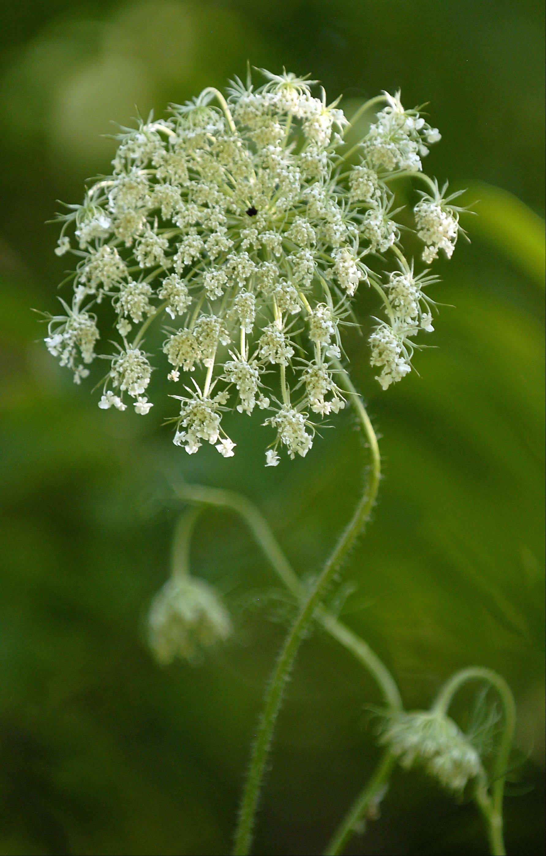 Normally drought-hardy Queen Anne's Lace can be found looking droopy due to the lack of rain this summer.