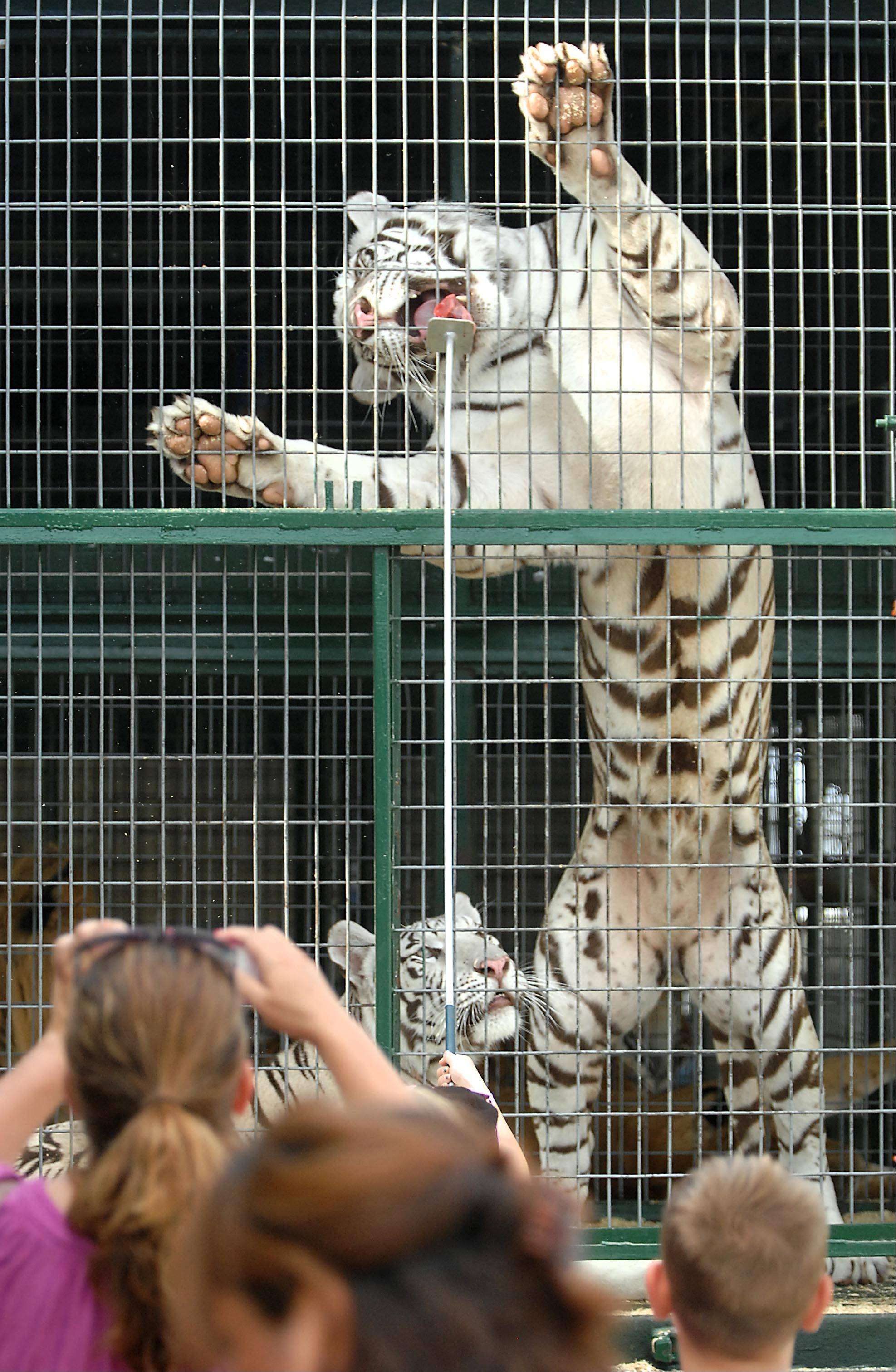 A Siberian Tiger stands up to take a bite of raw meat on a stick offered by a fair goer on the first day of the Kane County Fair Wednesday in St. Charles. The Big Cat Habitat and Gulf Coast Sanctuary of Florida has daily shows with several large cats. People can also buy a turn to feed a cat.
