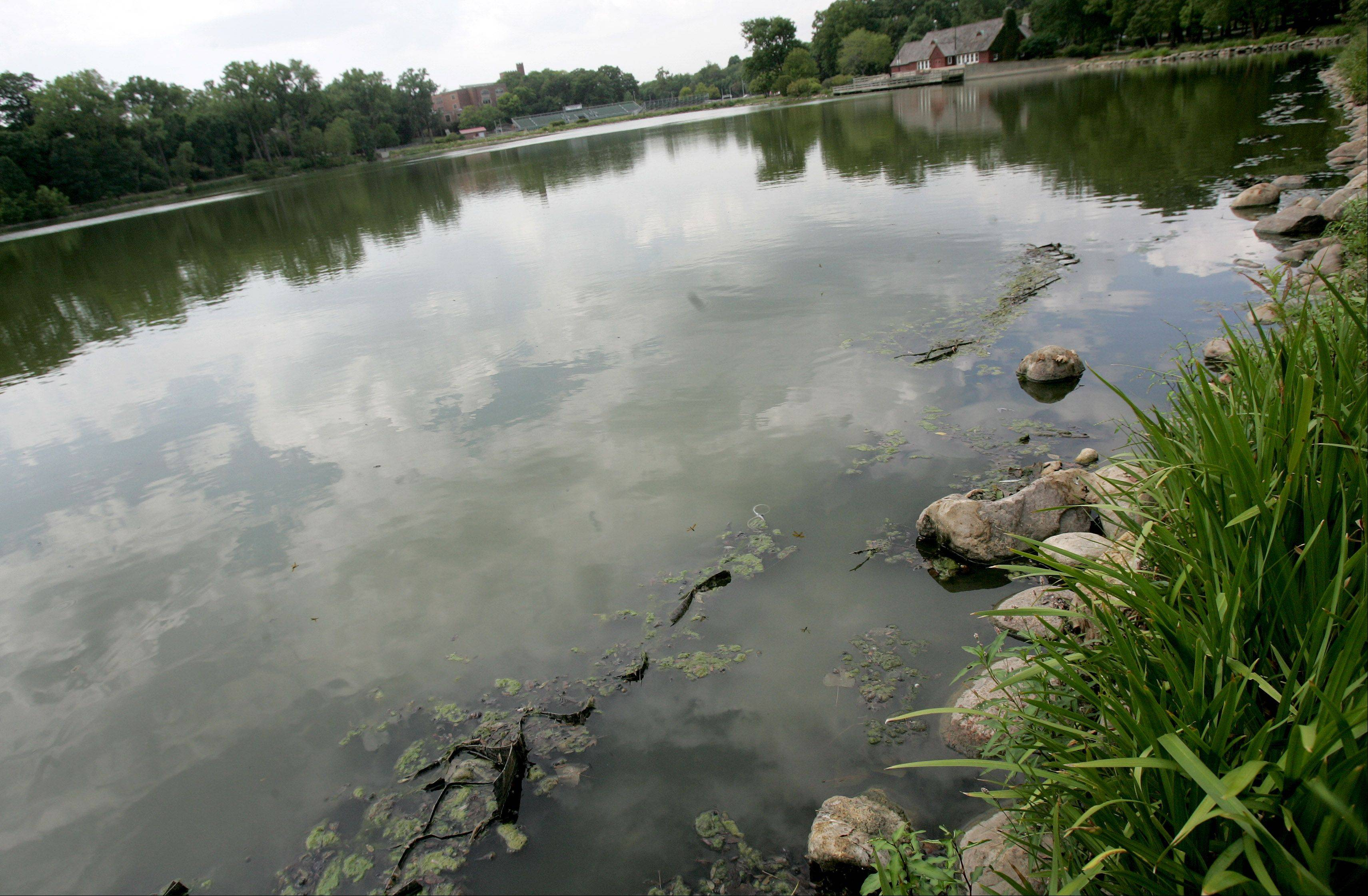 Lake Ellyn in Glen Ellyn has been growing more algae because of the recent heat wave and drought conditions.