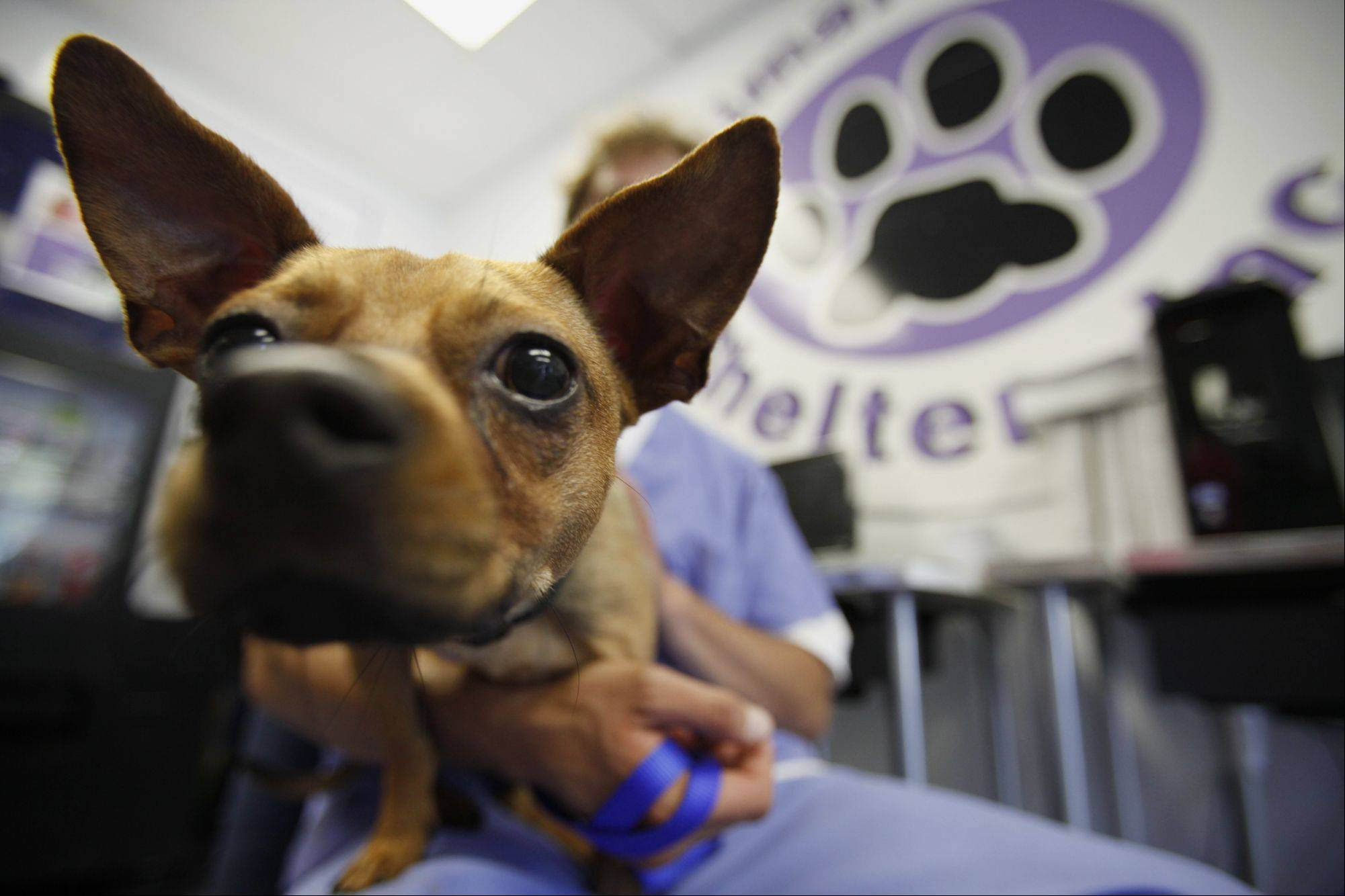 Moseley, a Chihuahua-beagle mix, is one of the dogs available at the Animal House Shelter in Huntley, which is celebrating its 10th anniversary.