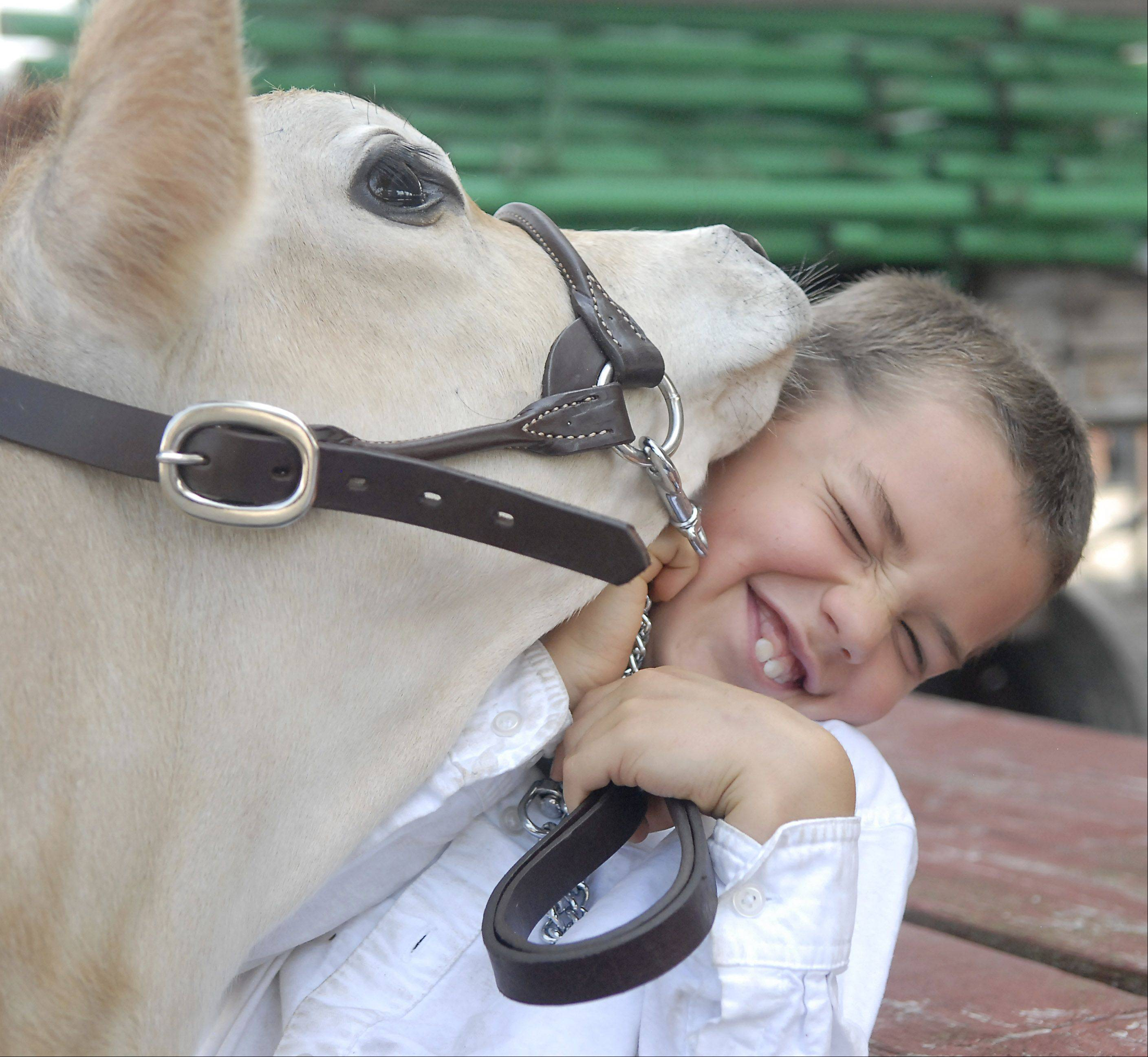 "Paden Thompson, 8, of St. Charles, gets smothered with kisses from four-month-old Jersey calf, Peanut, while they wait for their turn to show in the Jersey Junior Hefer category at the Kane County Fair on Thursday. Peanut's sandpaper-like tongue left Paden's cheek a rosy color afterward. Peanut and her sister, Clover, are calves from Primrose Farm in St. Charles. Paden and his sister, Emily, 11, are volunteers and have taken care of the calves ever since they were born. Peanut happened to be born on Paden's birthday. ""I just like sitting with them and working with them,"" says Paden. The 4-H program at Primrose Farm gets suburban kids who don't live on a farm a chance to be involved in the farm program."