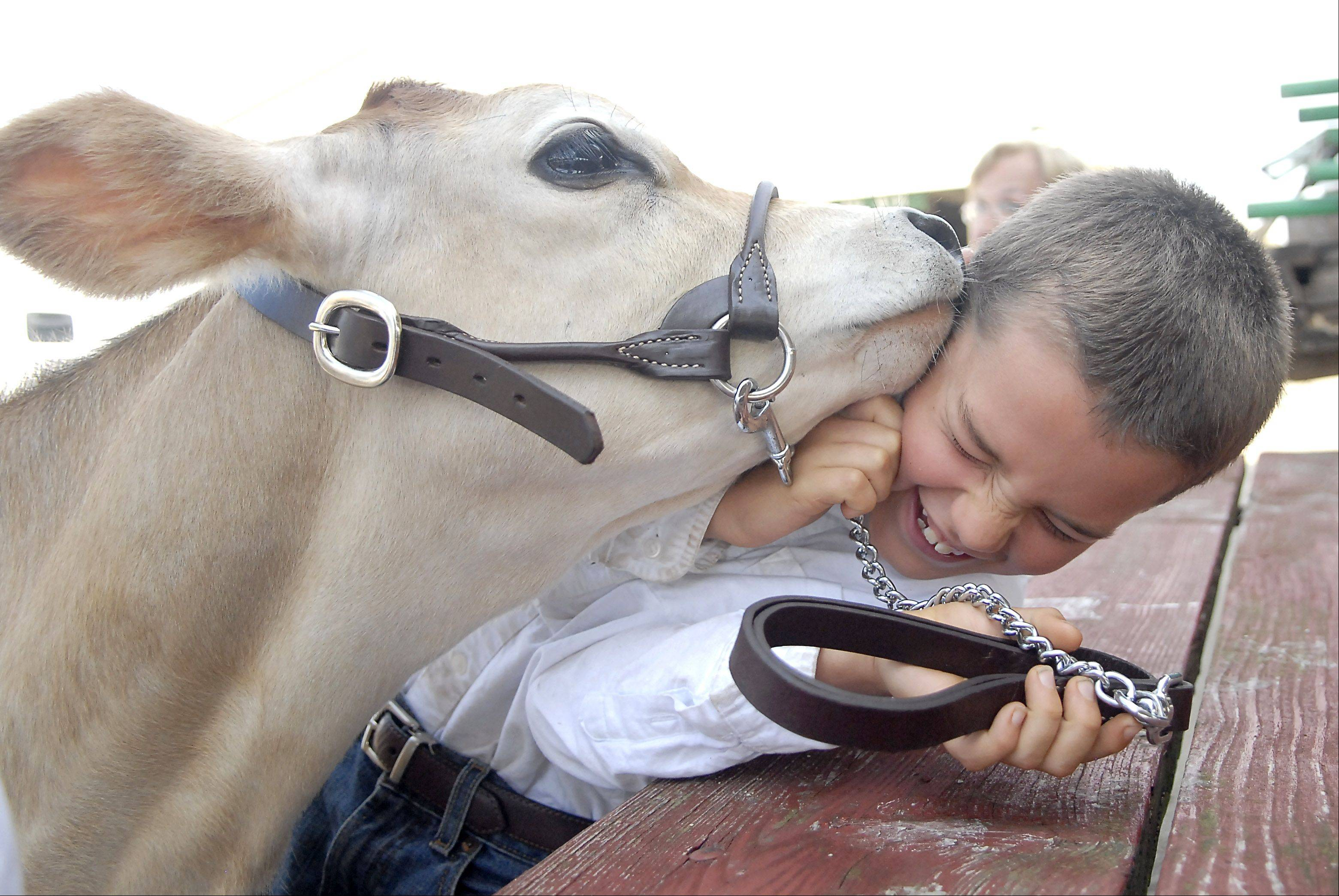 "Paden Thompson, 8, of St. Charles, gets smothered with kisses from four-month-old Jersey calf, Peanut, while they wait for their turn to show in the Jersey Junior Hefer category at the Kane County Fair on Thursday, July 19. Peanut's sandpaper-like tongue left Paden's cheek a rosy color afterward. Peanut and her sister, Clover, are calves from Primrose Farm in St. Charles. Paden and his sister, Emily, 11, are volunteers and have taken care of the calves ever since they were born. Peanut happened to be born on Paden's birthday. ""I just like sitting with them and working with them,"" says Paden. The 4-H program at Primrose Farm gets suburban kids who don't live on a farm a chance to be involved in the farm program."