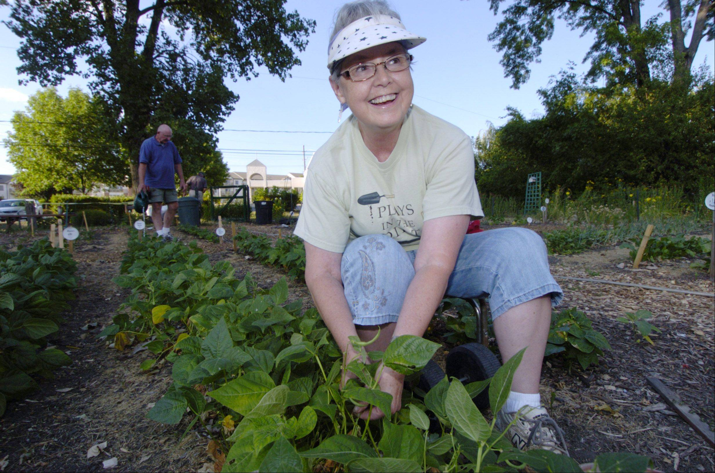 Deanna Bruckner picks green beans as members of the Schaumburg Garden Club, including Steve Larson, background, work at their Giving Garden at Lord of Life Church in Schaumburg.