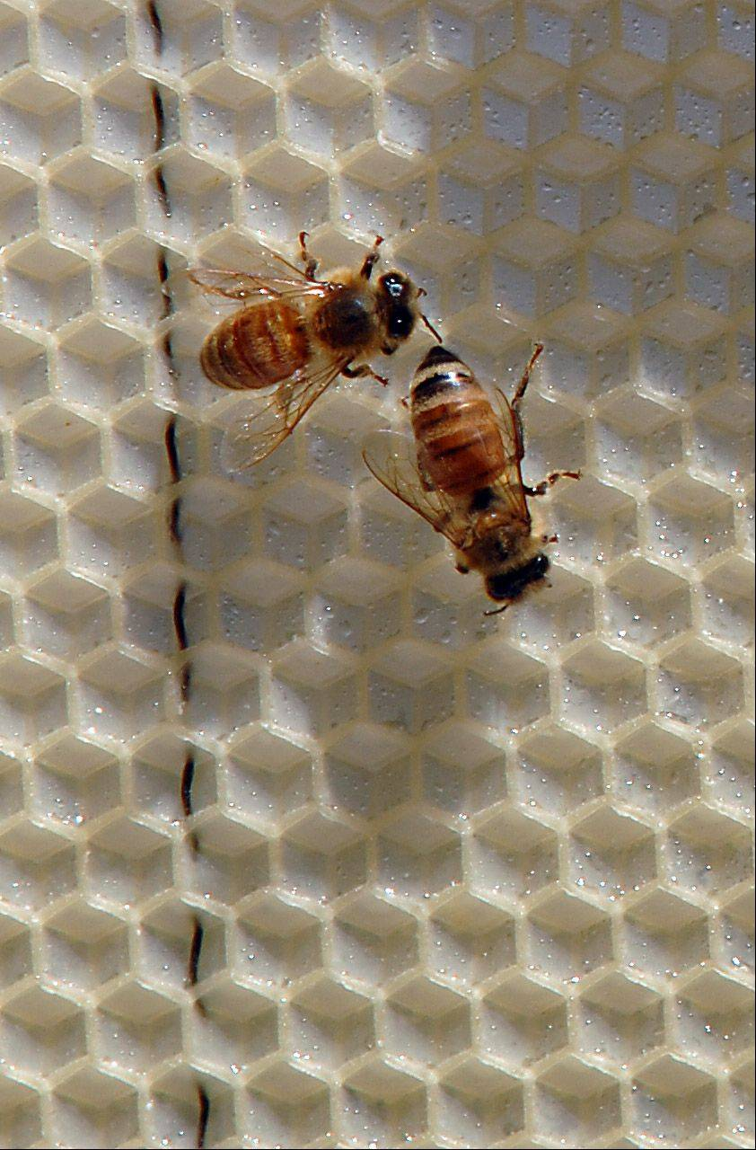Honeybees, like these in an Arlington Heights hive, could be permitted in colonies in Mundelein.