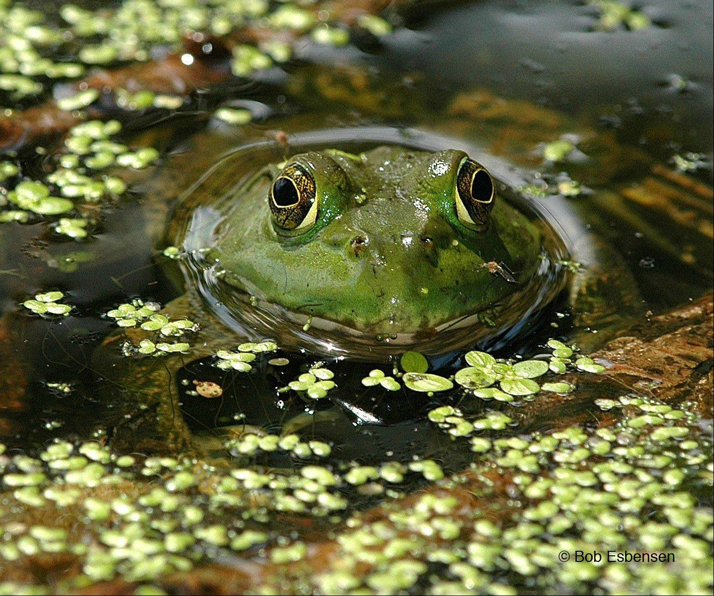 A frog peeks out from pond water at Spring Valley Nature Center in Schaumburg in 2008.
