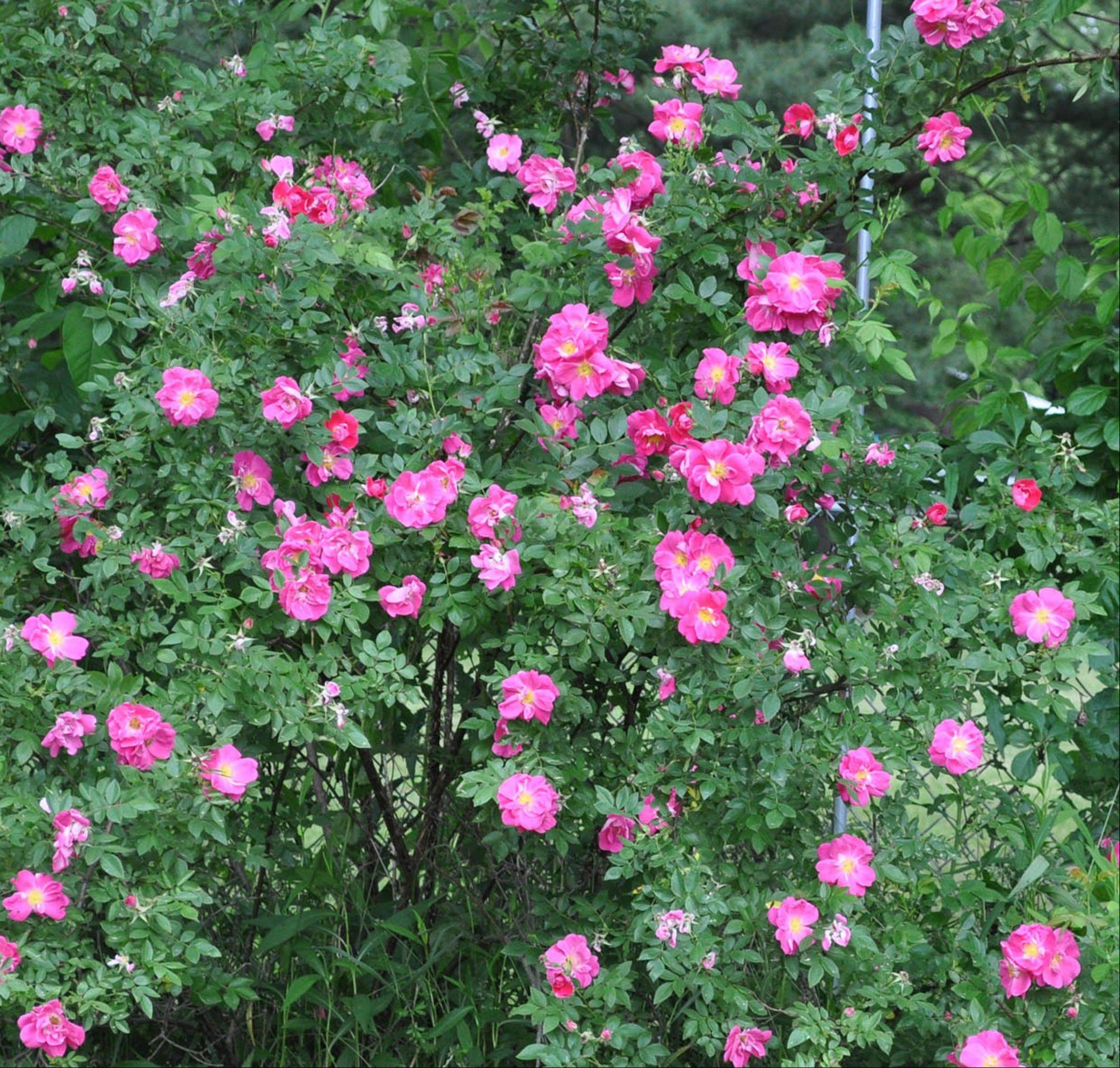 William Baffin roses are in the Canadian Explorer series of blackspot-resistant varieties.