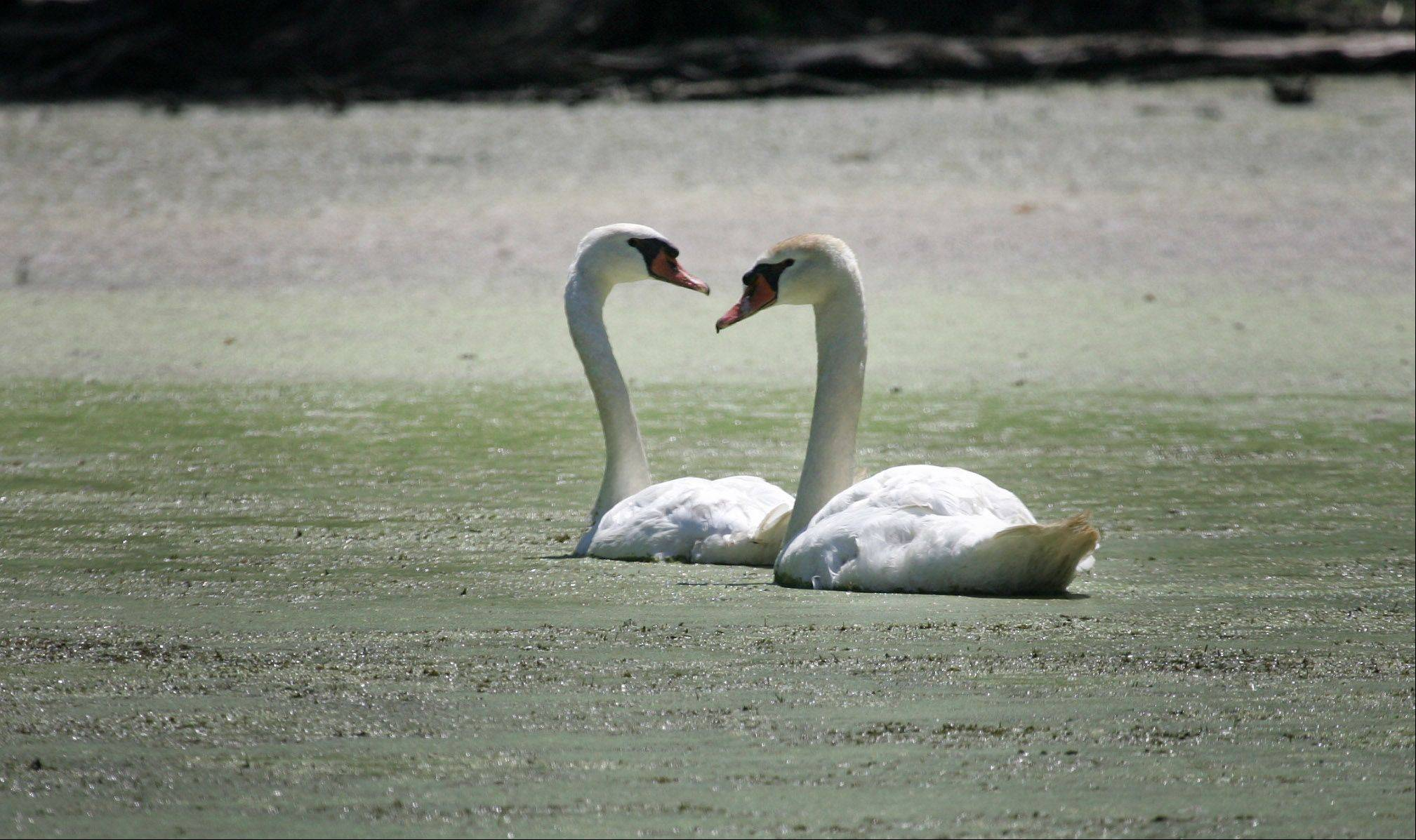 Concern for swans brings expert to Mundelein golf course
