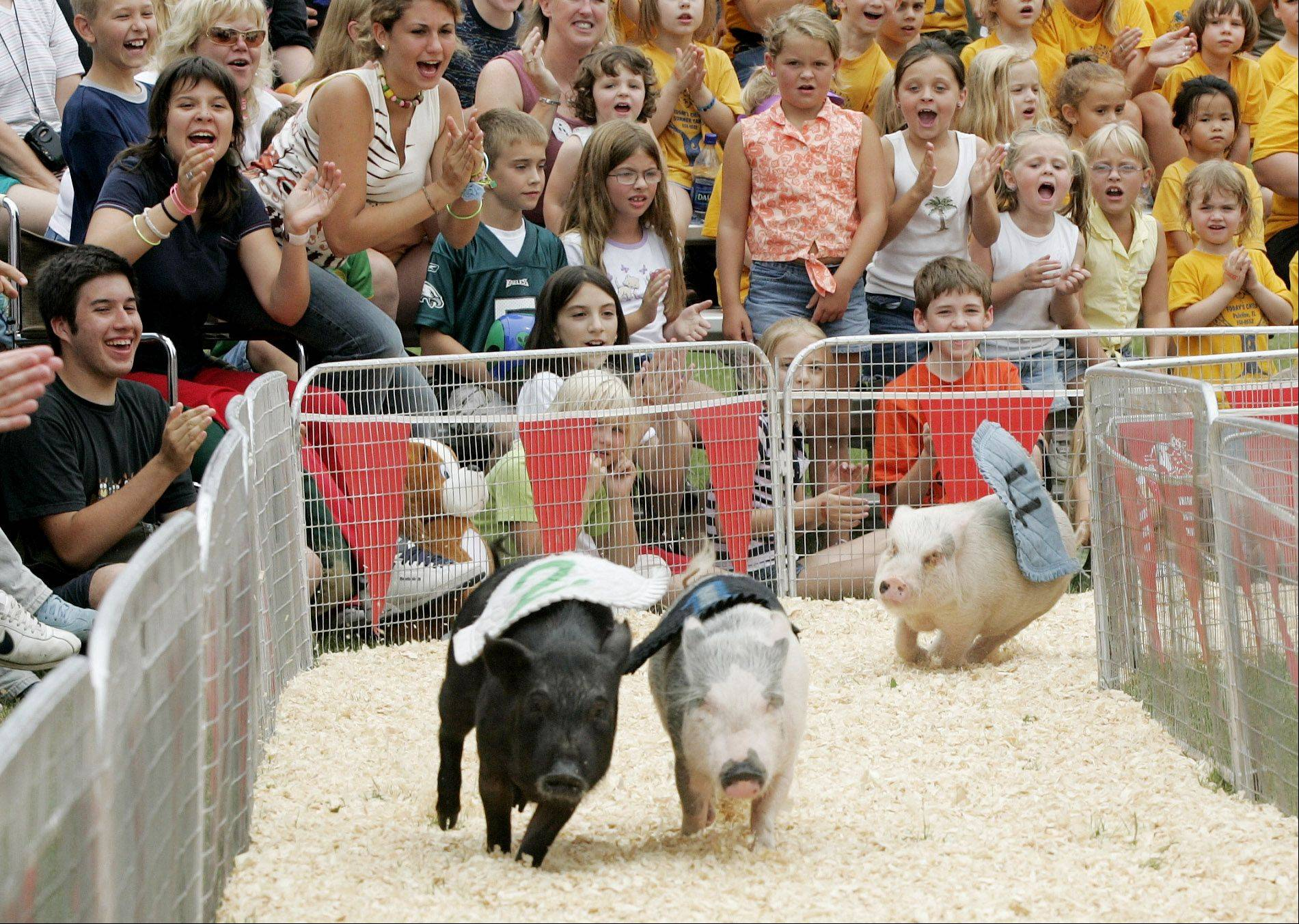 2004: Robinson's Racing Pigs do one of the things they do best -- race.