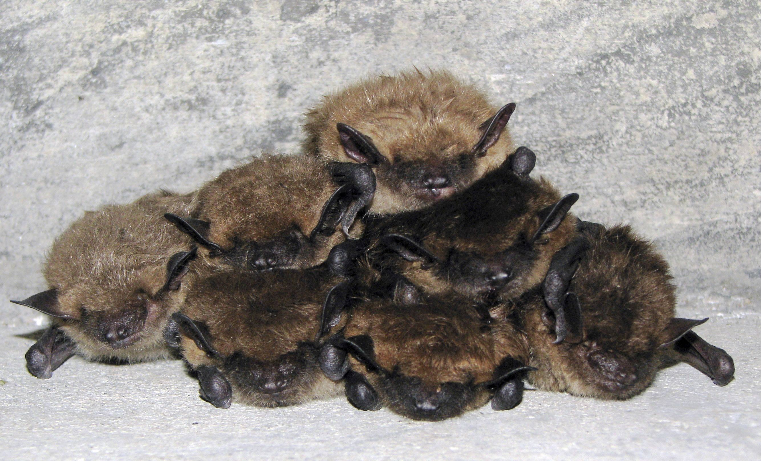 "Celebrate the Year of the Bat with McHenry County Conservation District during ""Barn Full of Bats"" on Wednesday, July 25. Enjoy bat-themed games, crafts and activities for the whole family."