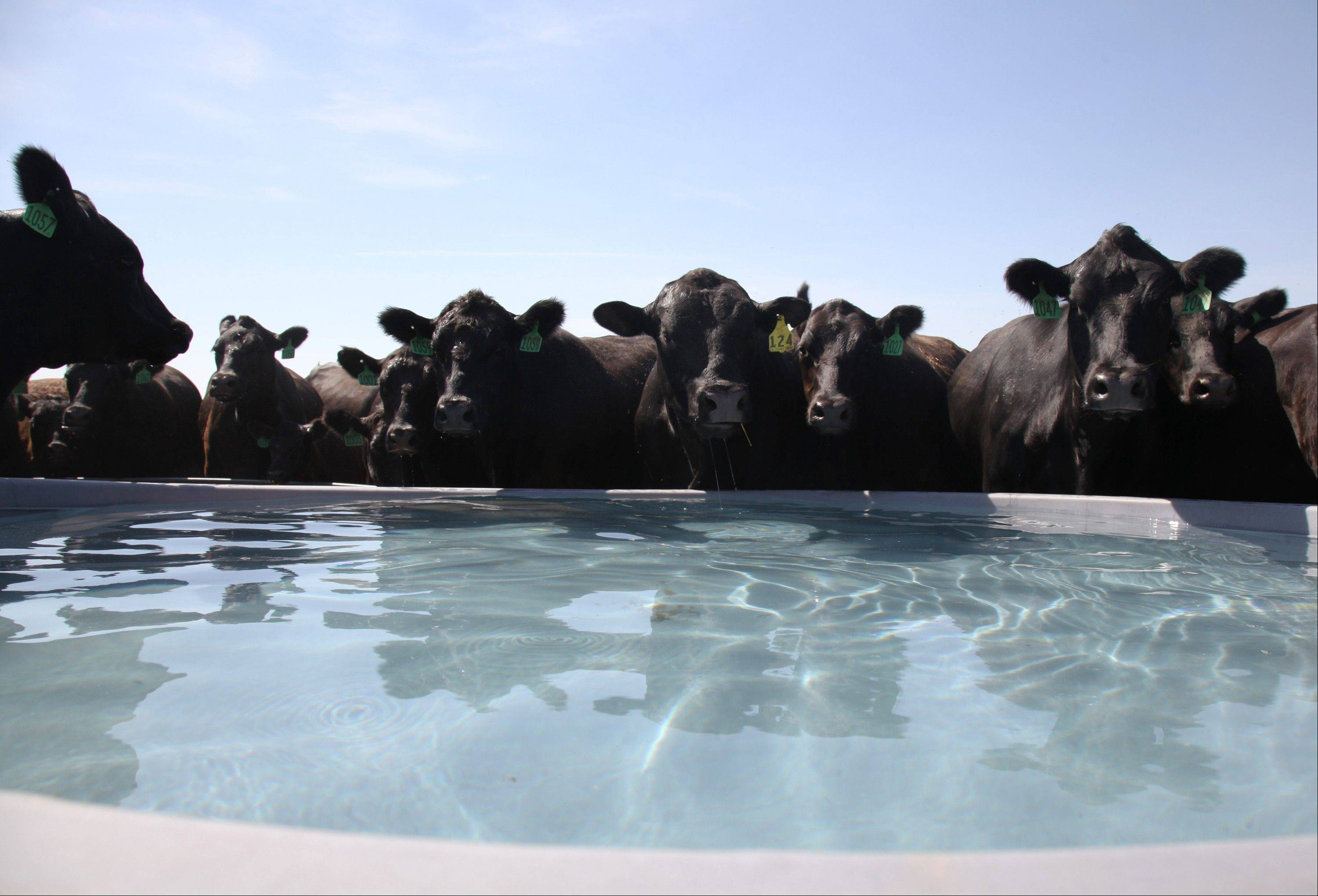 A herd of cattle belonging to Kendal Grecian drink from a water tank at his ranch in Palco, Kan.