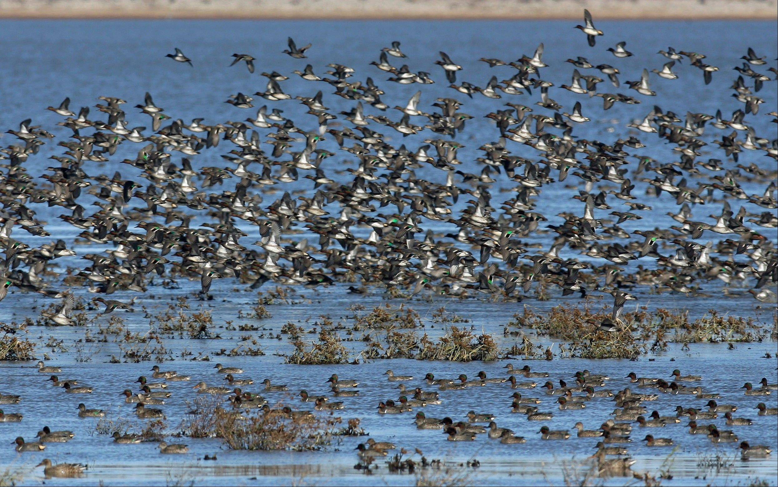 A flock of mostly green-winged teal takes off from the Chautauqua National Wildlife Refuge near Havana, Ill.