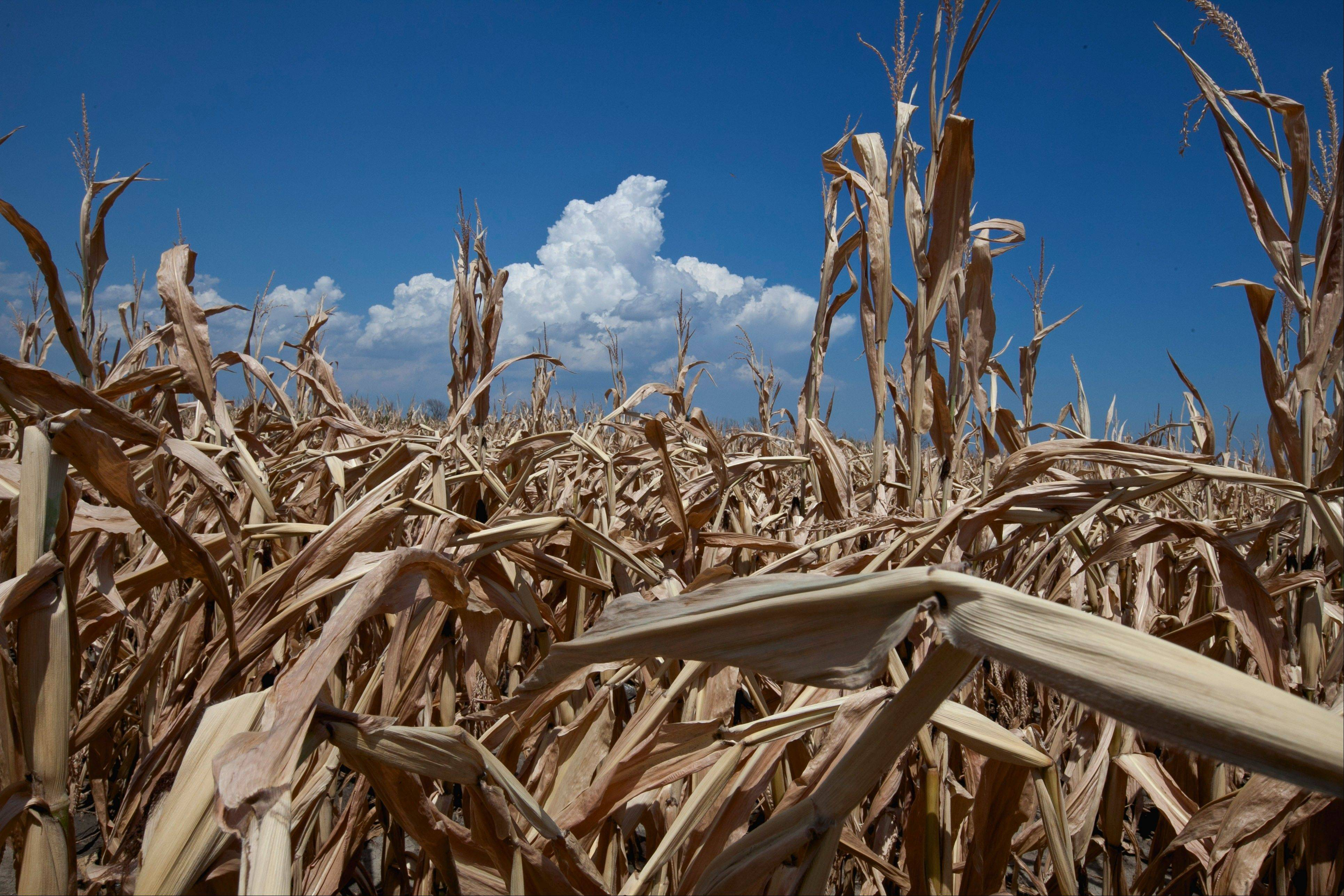 A field of dried corn plants is seen near Percival, Iowa, Thursday. The widest drought to grip the United States in decades is getting worse with no signs of abating.
