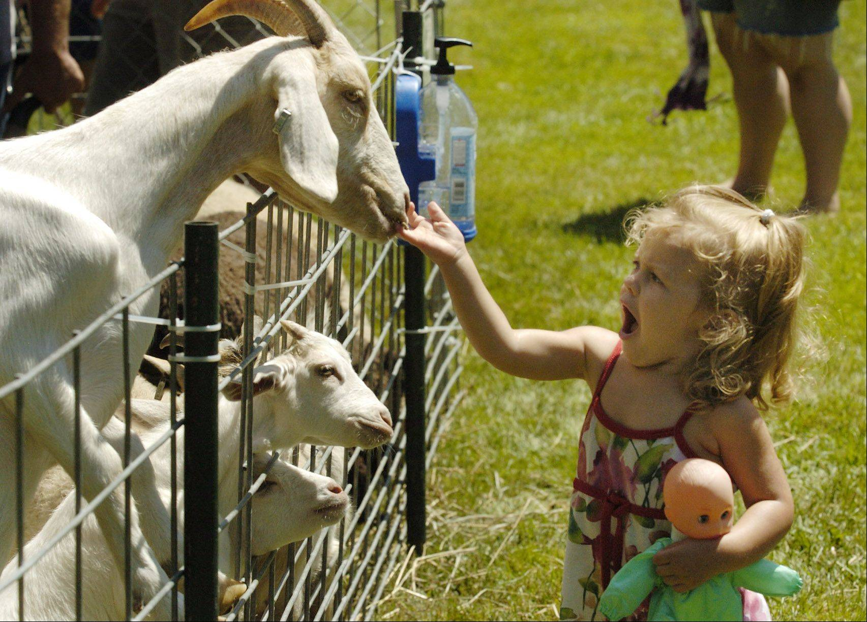 Emma McBreen, 2, of Algonquin doesn't care for the goats tasting her hand as she feeds them in the petting zoo at last year's Algonquin Founders' Days.