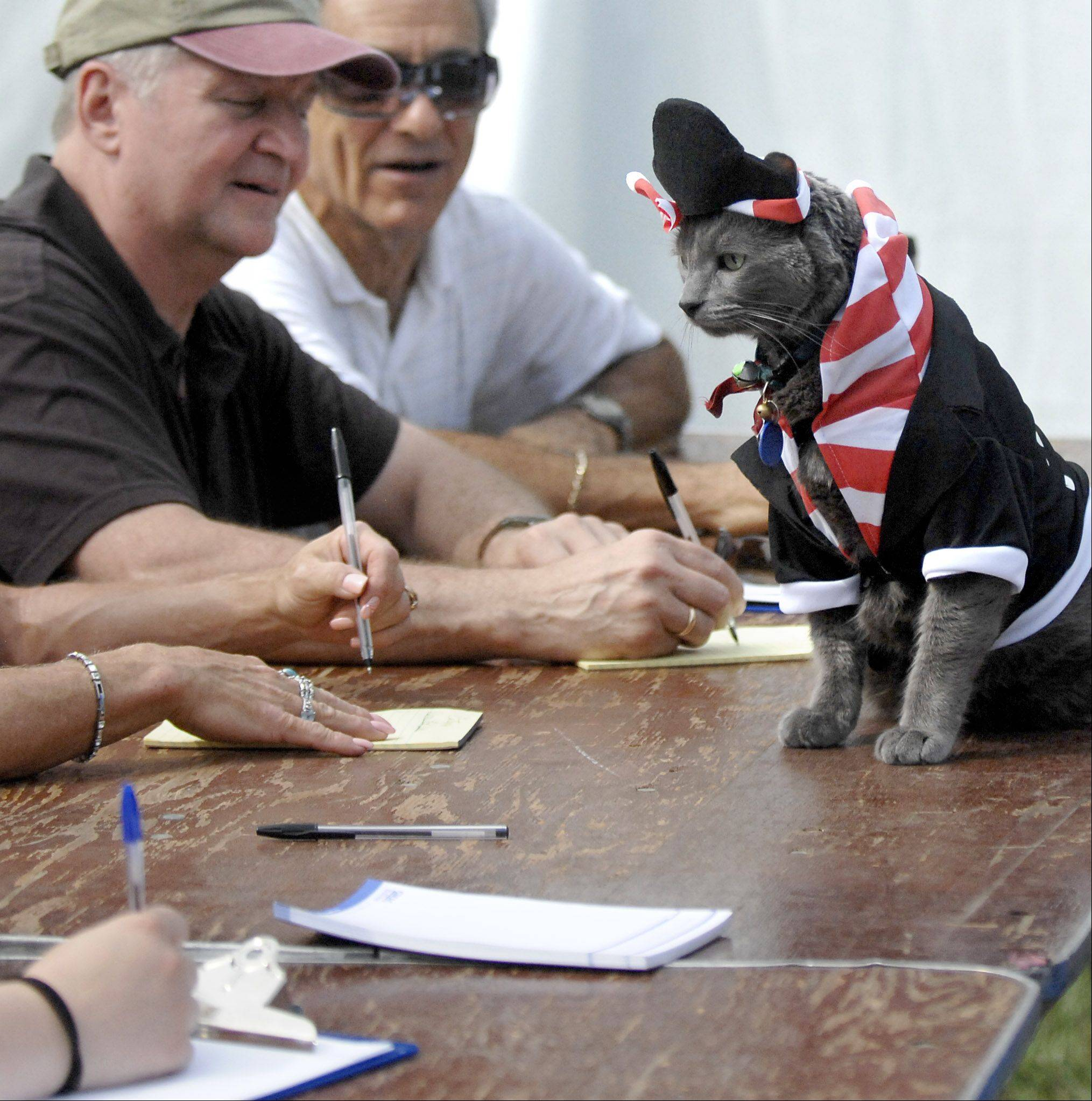 Bert, 12, is sized up by the judges in his pirate costume at the dog and cat show at the Algonquin Founders' Days festival in Towne Park. Bert is owned by Matt and Jill Sarto of Algonquin and their children Gabrielle and Riley. He was adopted from a shelter when Gabrielle was only 1, and has donned many costumes with help from Gabrielle. Bert won the category.