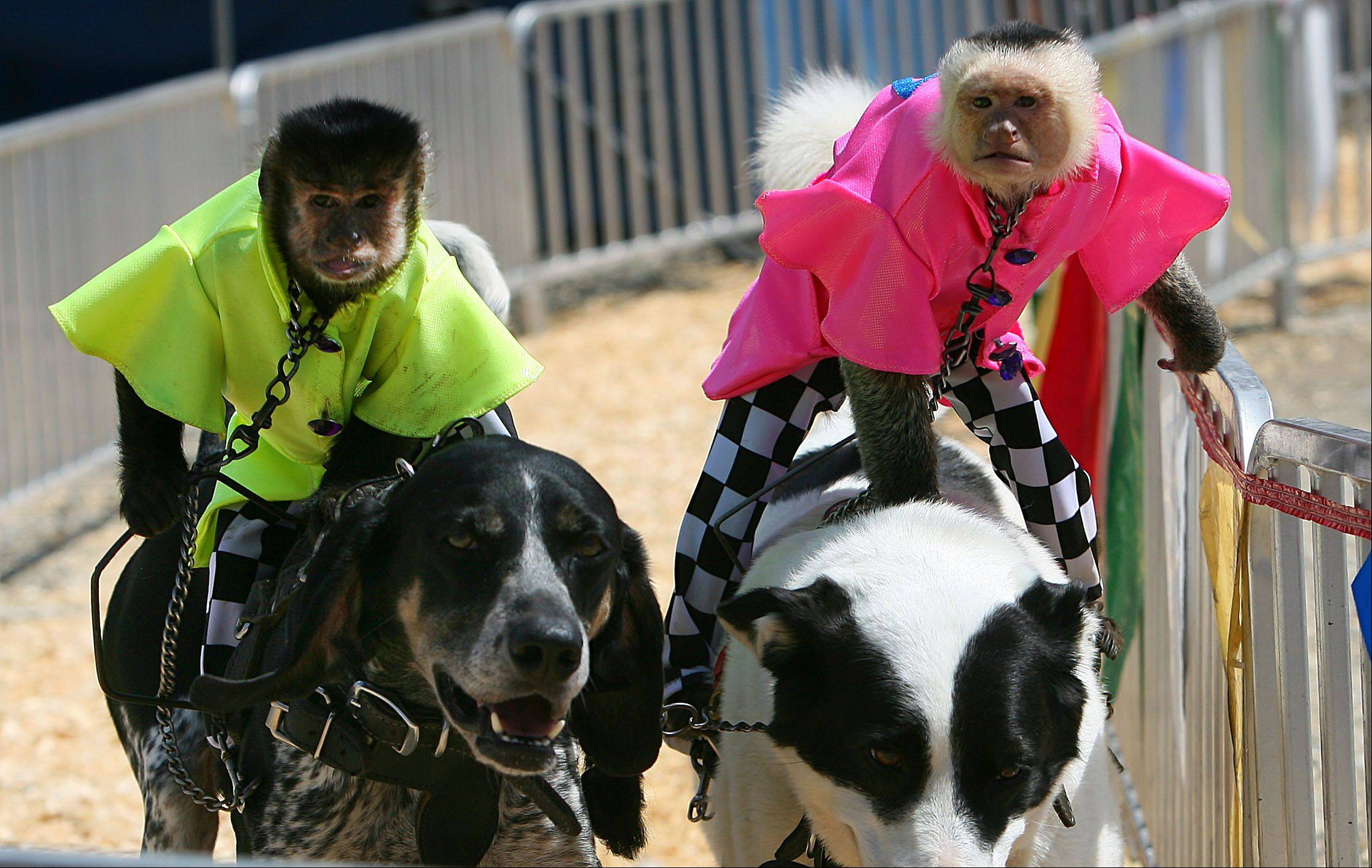 "Capuchin monkeys ""Burt"", left, and ""Bobo"" race during the banana derby at the Lake County Fair Friday in Grayslake."