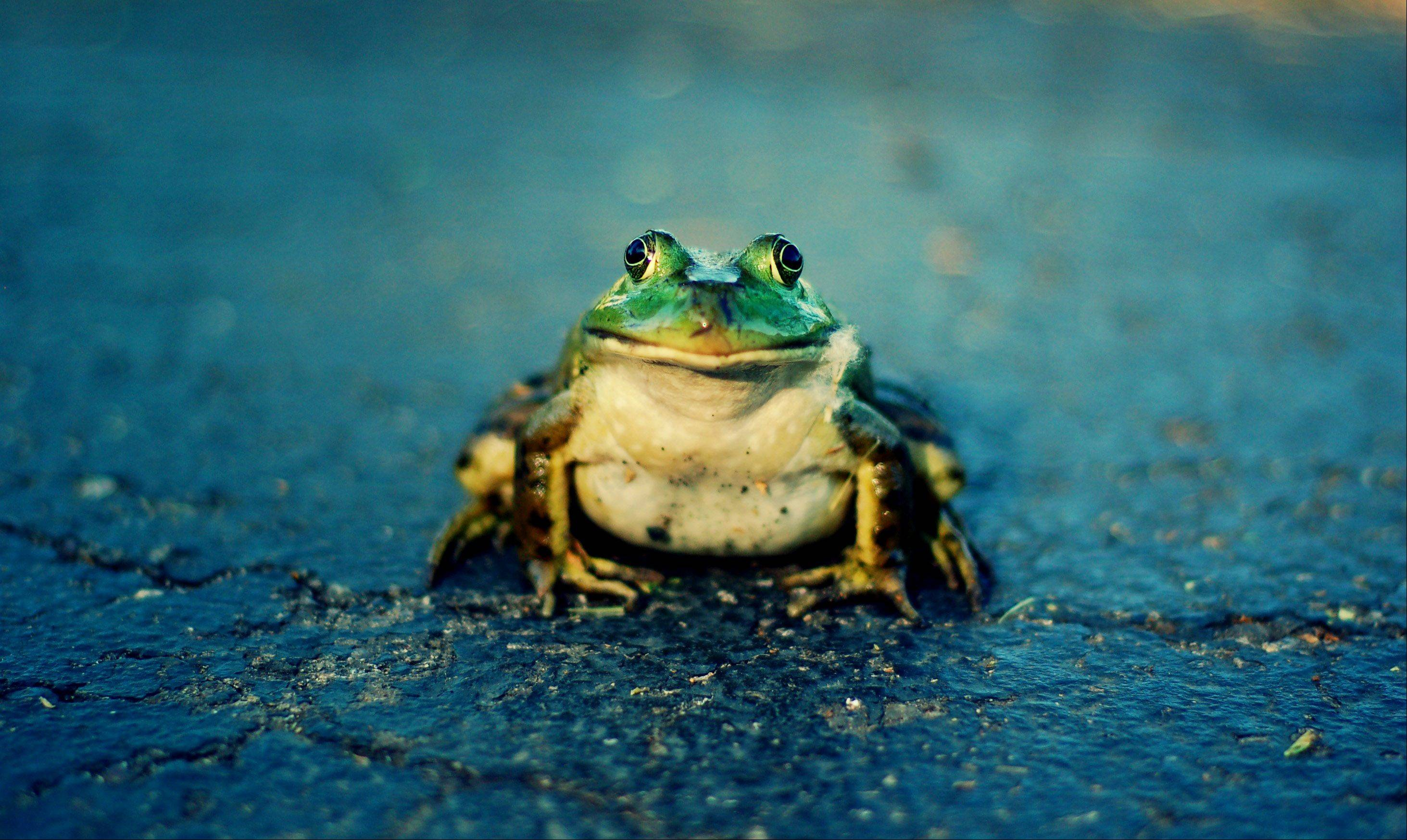 I was riding my bike one day last month next to a lake in Carol Stream when I found this guy sitting smack dab in the middle of the bike path. I thought he'd make a great photo, so I got down on my hands and knees to take a few shots. You could say I got a frog's-eye perspective! He didn't move the whole time, and I'm very proud of how the picture turned out.