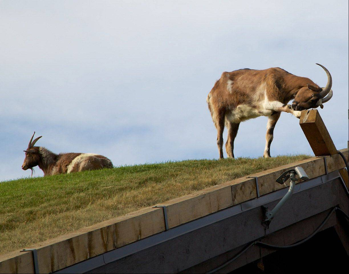 Two goats stand on the roof of Al Johnson's Swedish Restaurant in Sister Bay, Wisconsin in Door County on June 17. The restaurant is famous for the goats grazing on the roof.