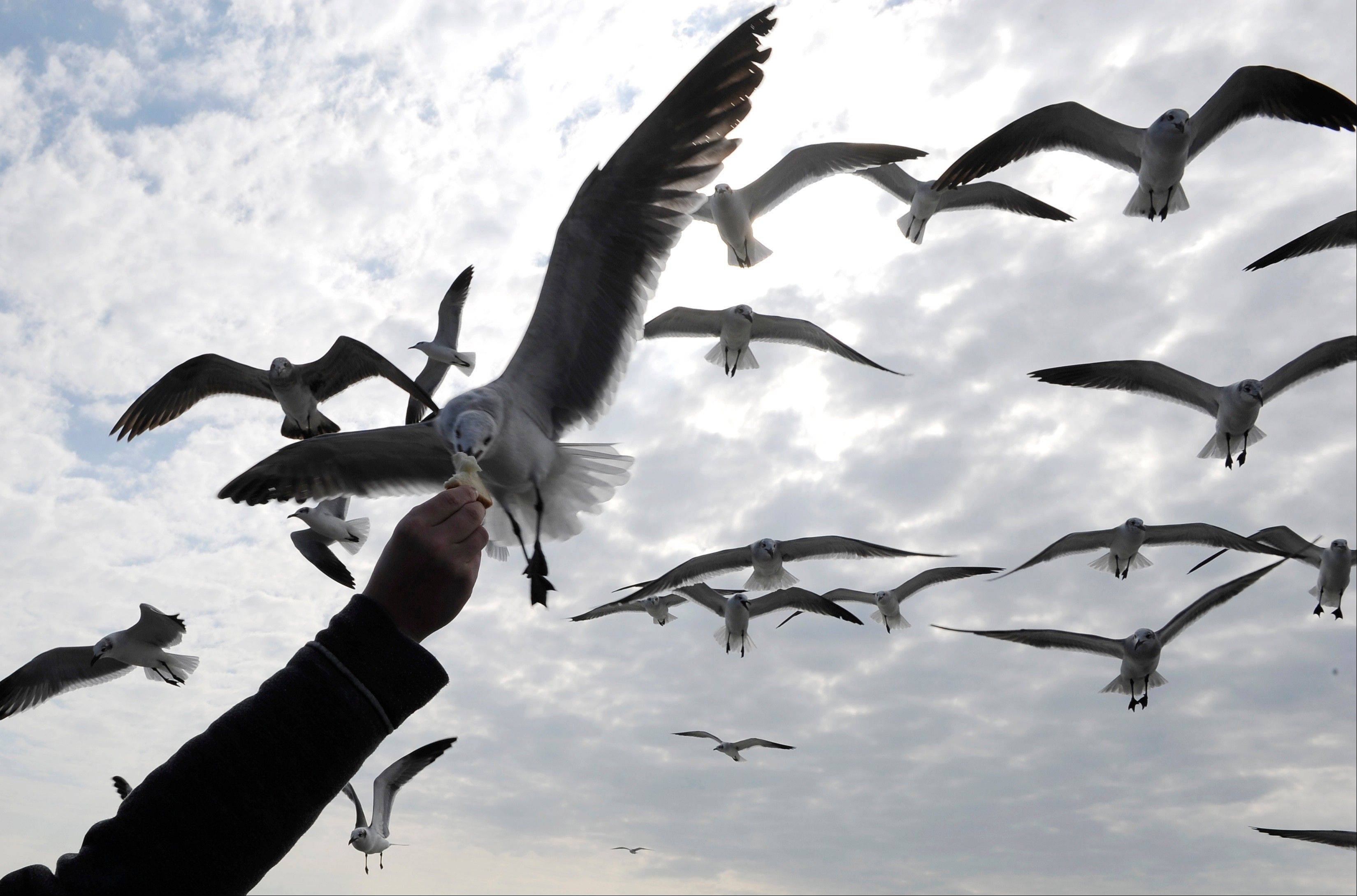 A sea gull snags a piece of bread out of a passenger's hand aboard a ferryboat as it crosses Galveston Bay in Galveston, Texas.
