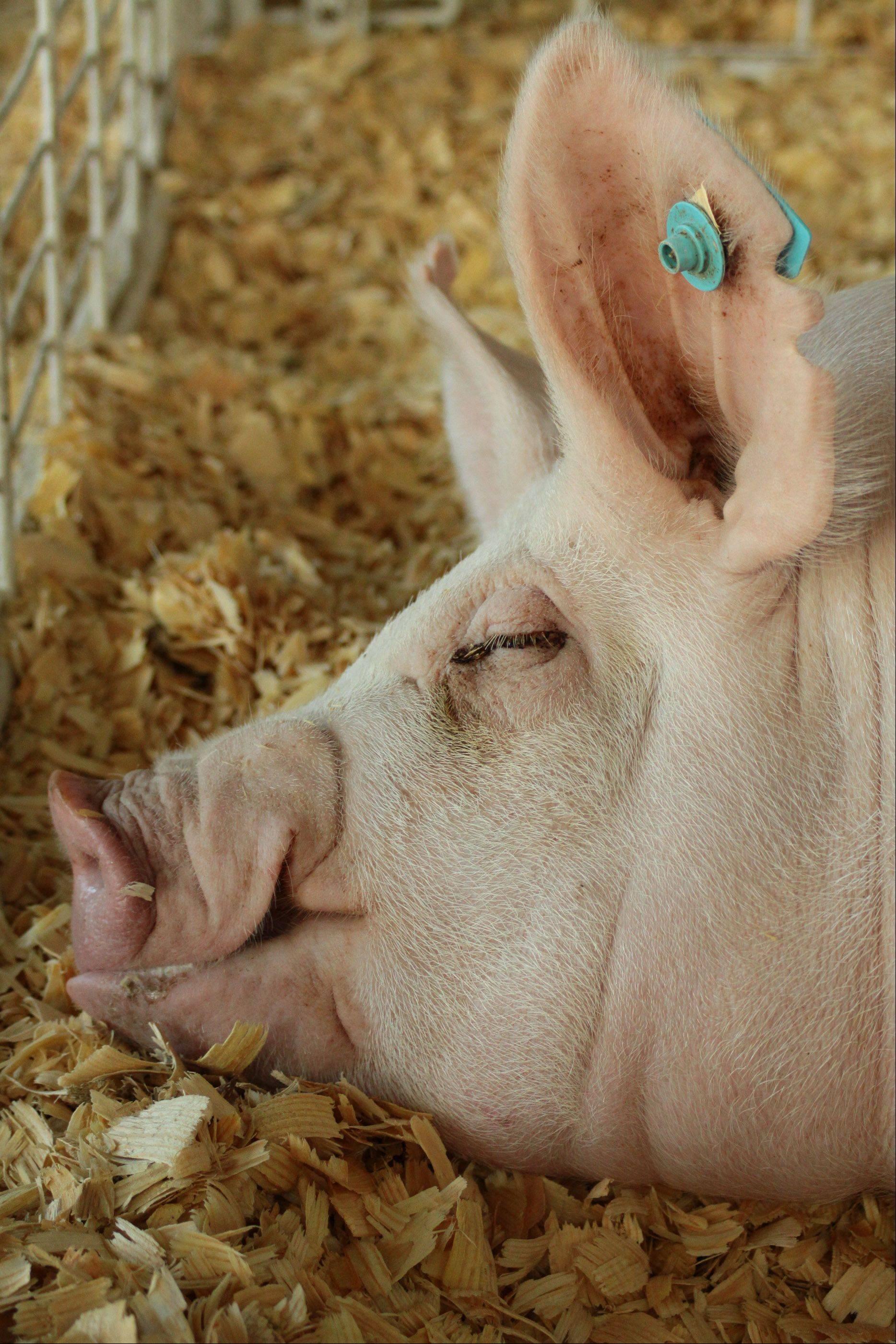 "Dick Davis of Lombard was the first-place winner in the Photography Shoot-Out contest at the DuPage County Fair in Wheaton for this picture of a tired pig. ""I think it was just a matter of being in the right place at the right time,"" he said."