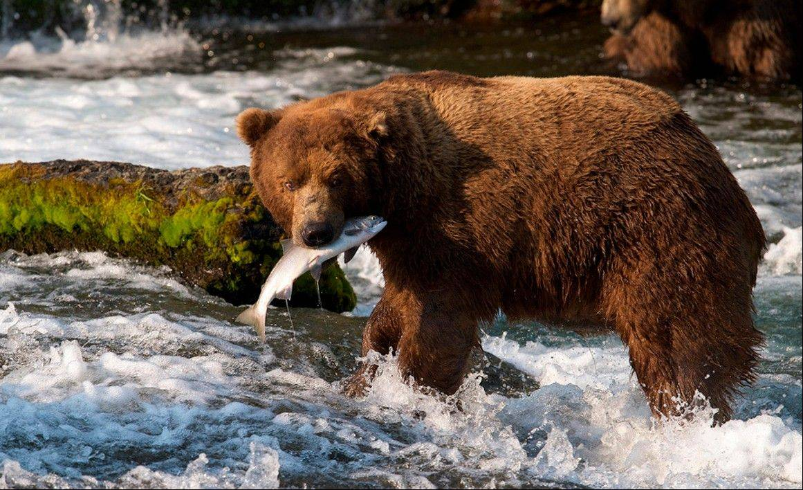 A brown bear catches a salmon at Brooks Falls, Katmai National Park in Alaska. A new video initiative will bring the famed brown bears of the park directly to your computer or smartphone. In a partnership with explore.org, a live webstream will be unveiled Tuesday that will allow the public to log on and see the brown bears in their natural habitat, including views of the bears catching salmon at Brooks Falls.
