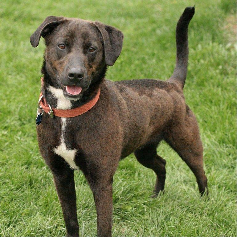 Rocky II, a male Labrador retriever mix, is about 1 year old and weighs 47 pounds.