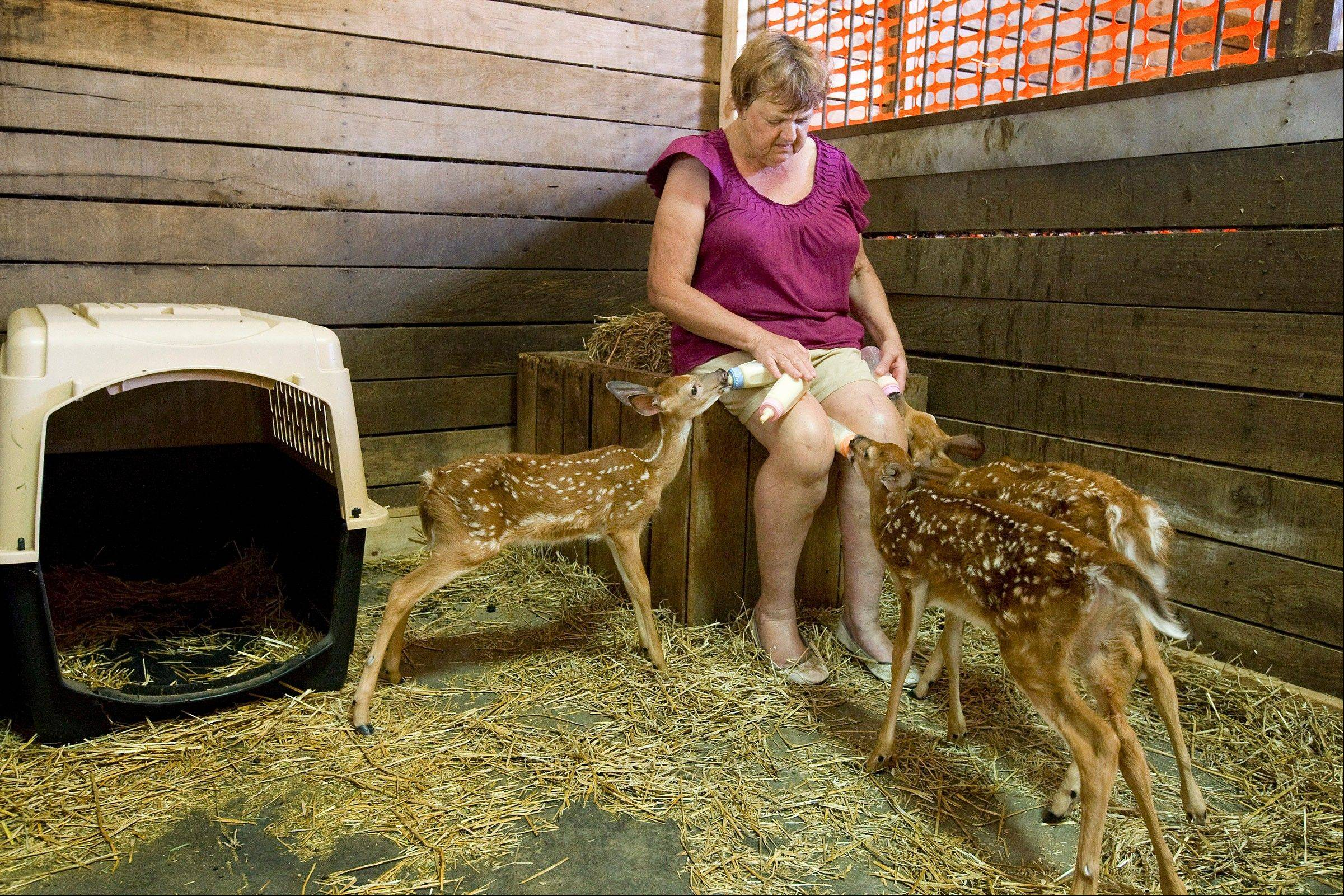 Anne Eddings, a state-certified wildlife rehabilitator, feeds three young deer from baby bottles at her home in Herrick.