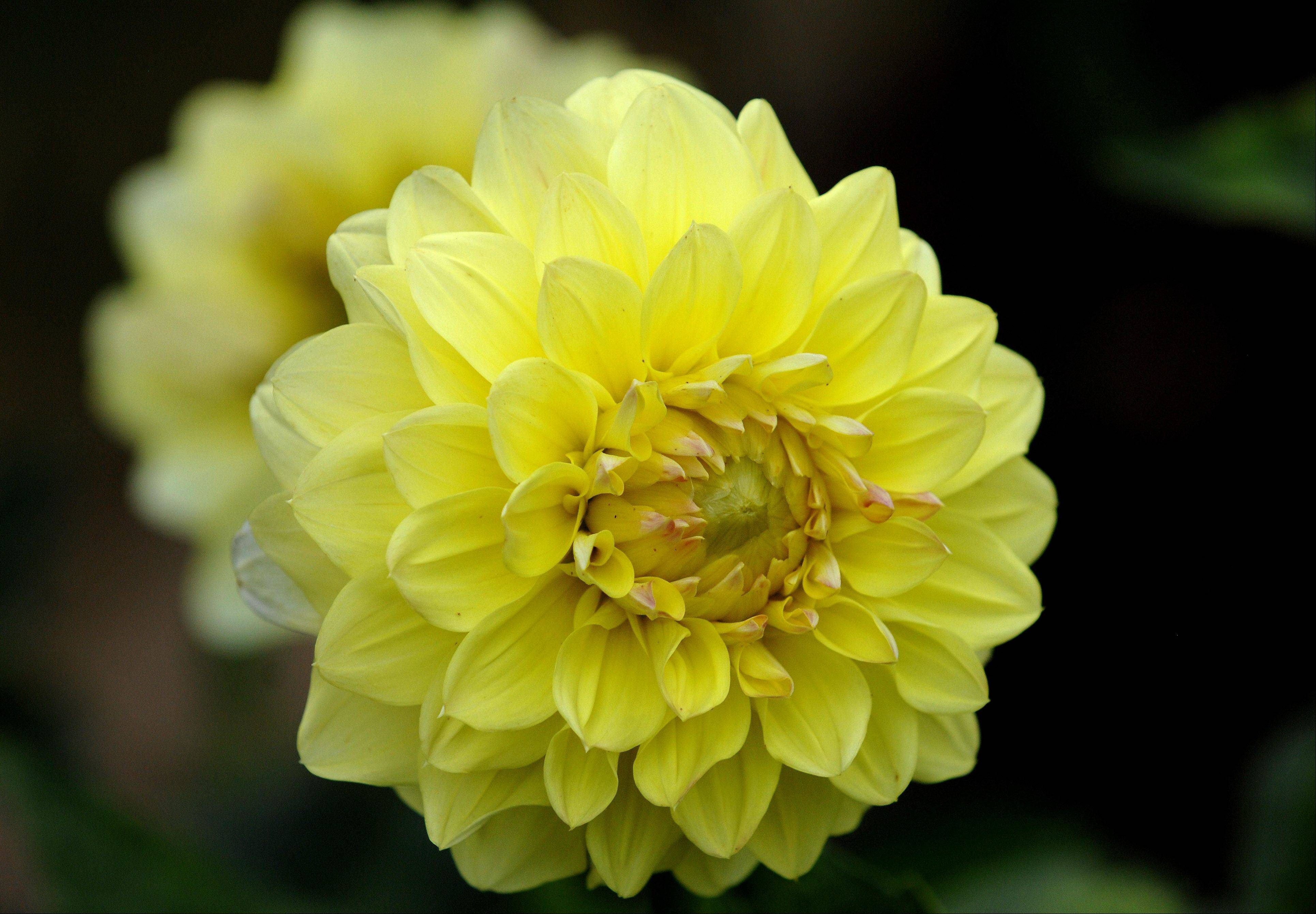 This early-blooming dahlia has not been named.